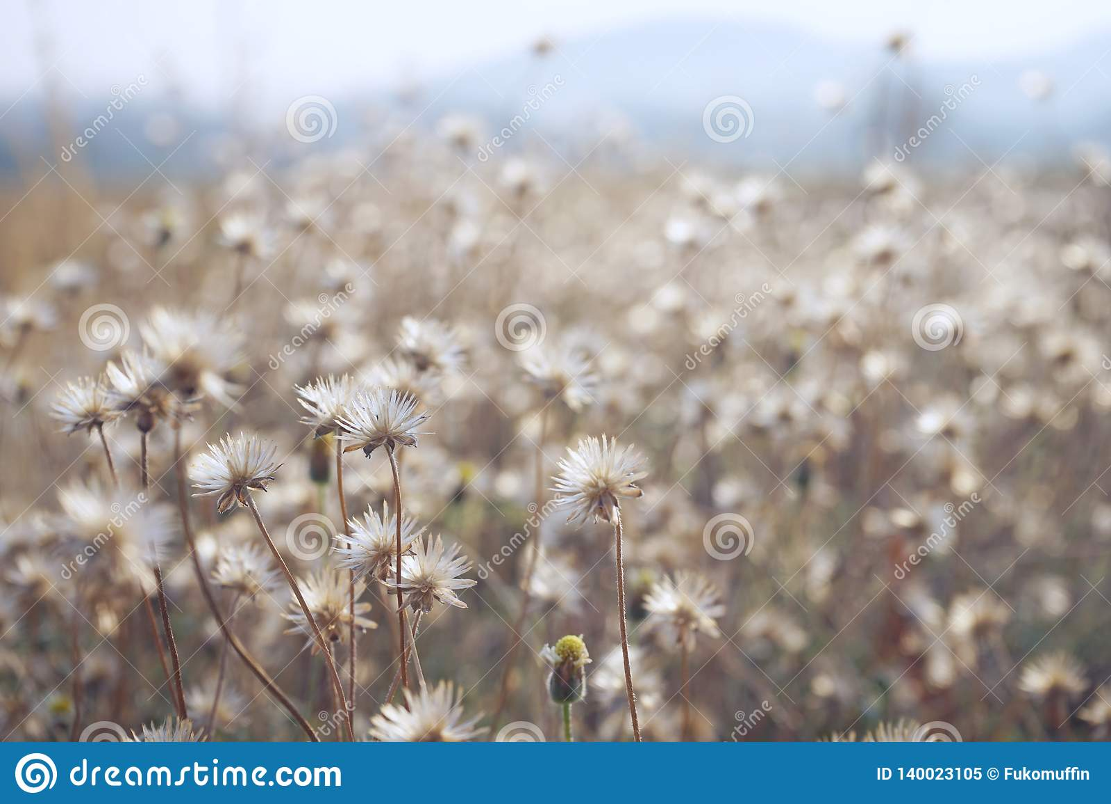 Campo de flor de la manzanilla bajo luz del sol caliente Fondo conmovedor