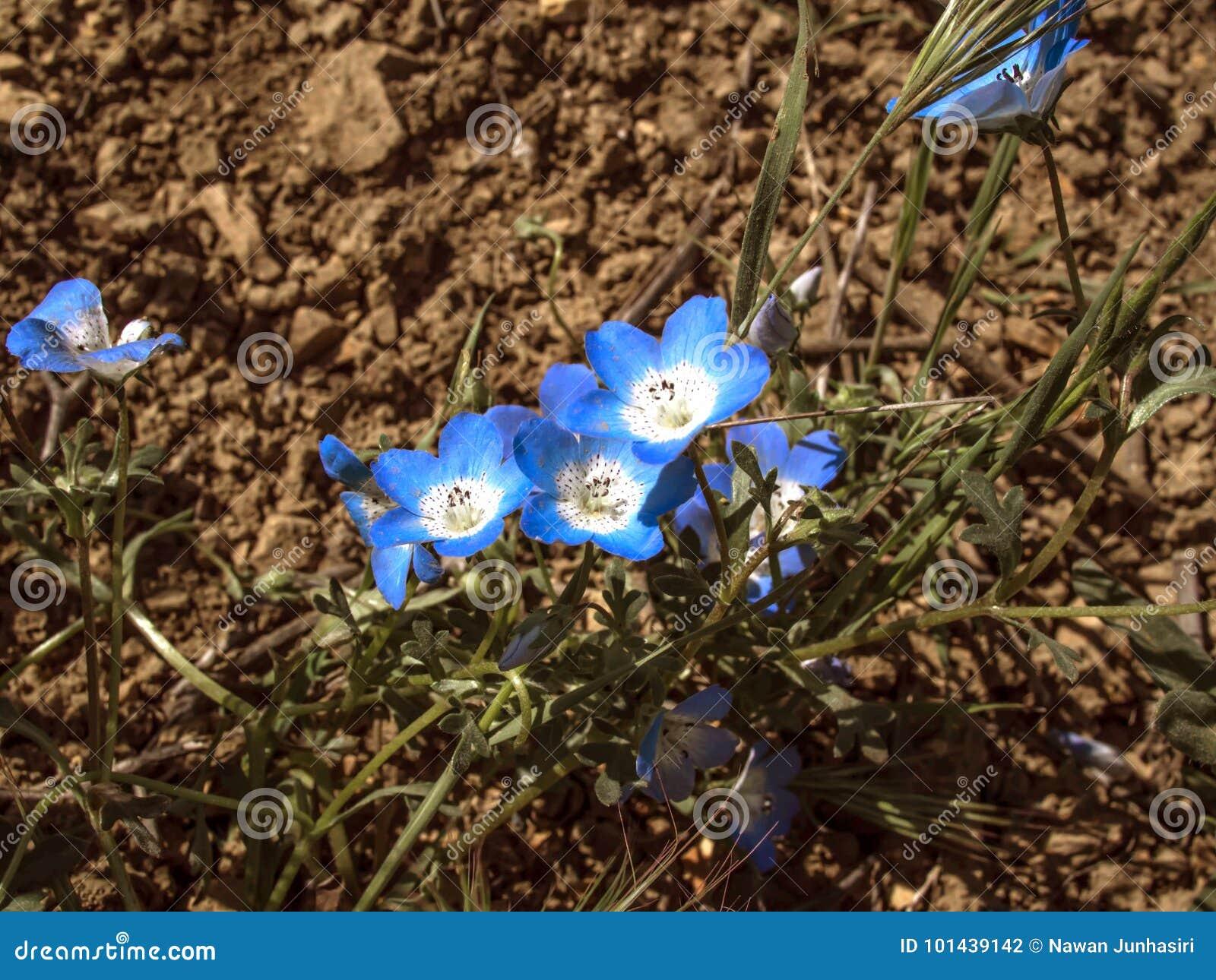 Campo de flor de los ojos de azules cielos California