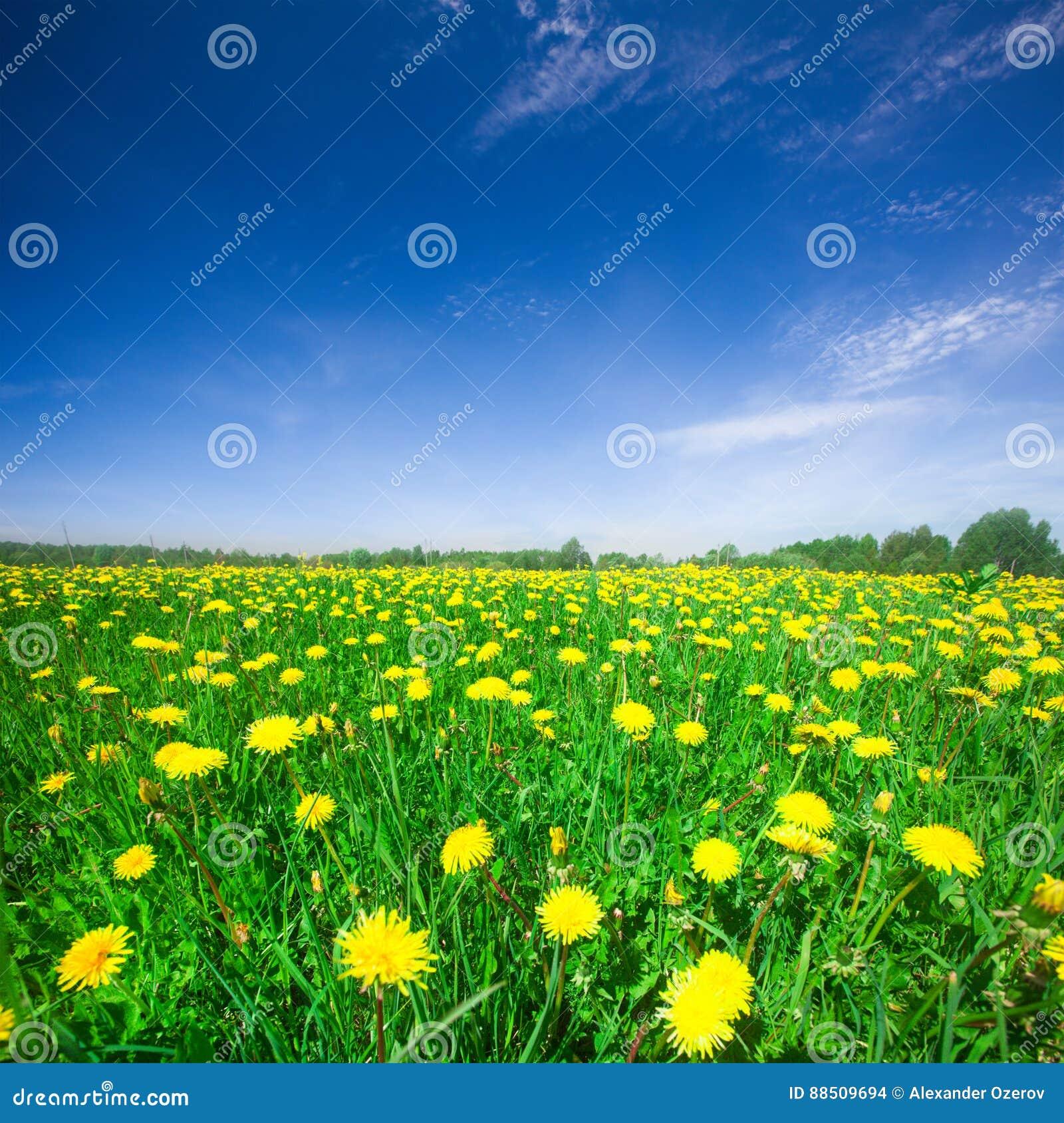 Campo de flores amarelo sob o céu nebuloso azul