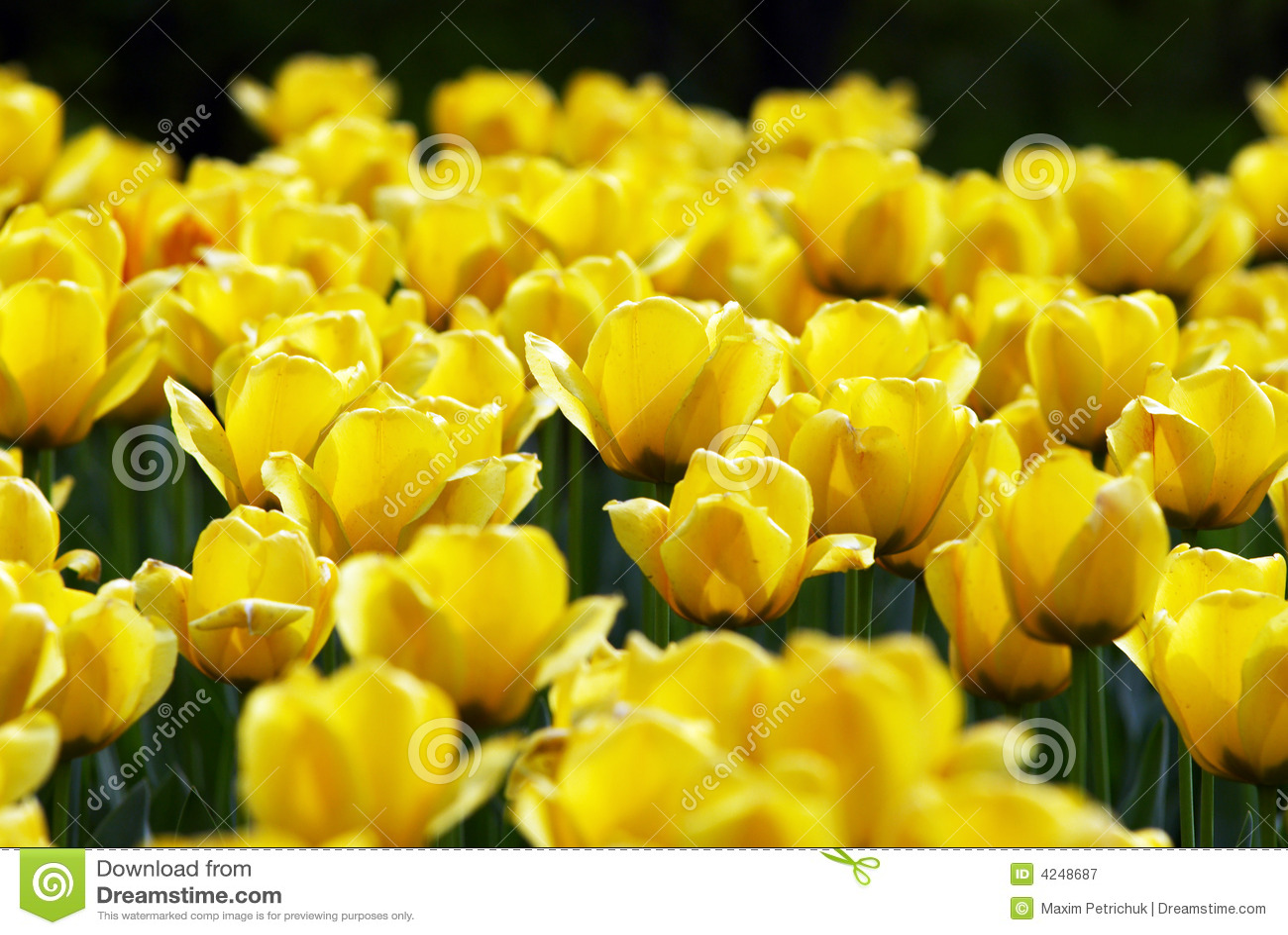 Campo de flores amarillo del tulipán