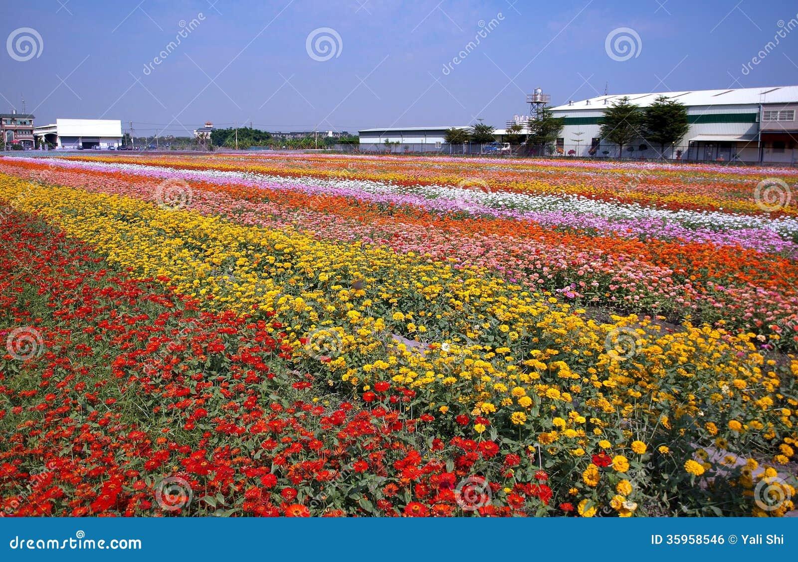 Campo de flores colorido de la maravilla
