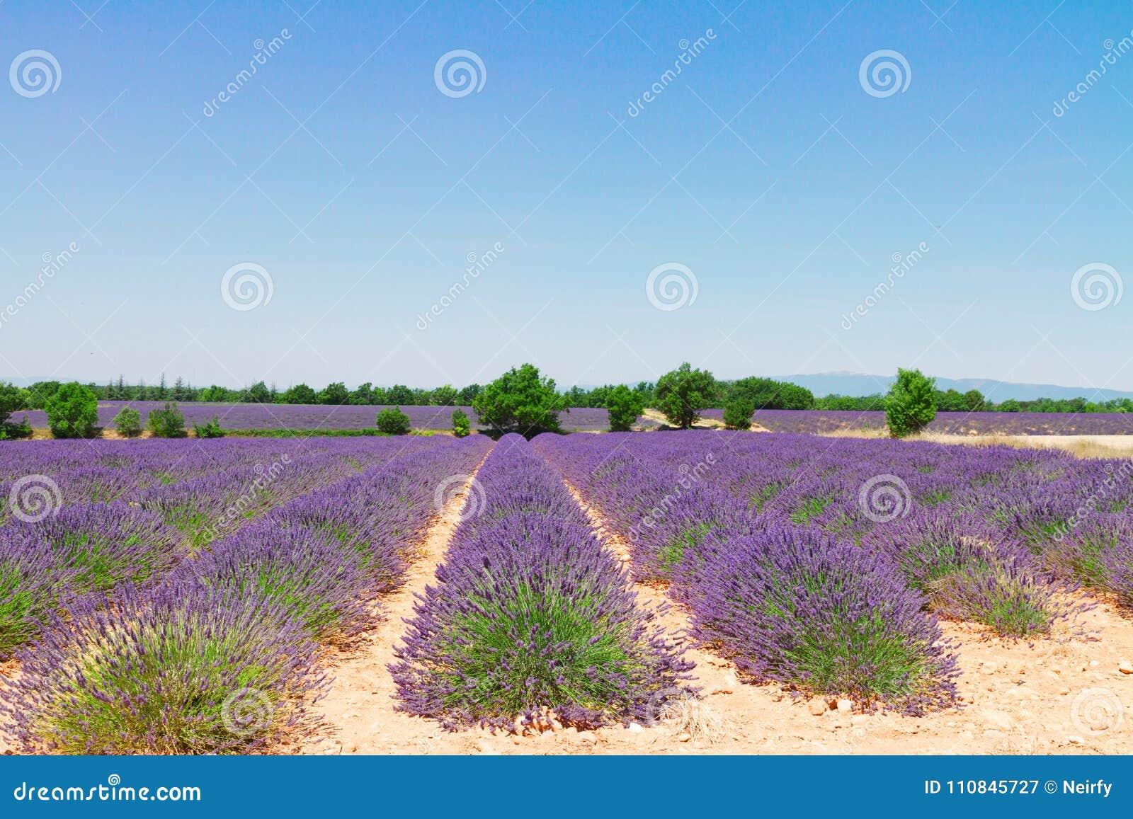 Campo de flores da alfazema