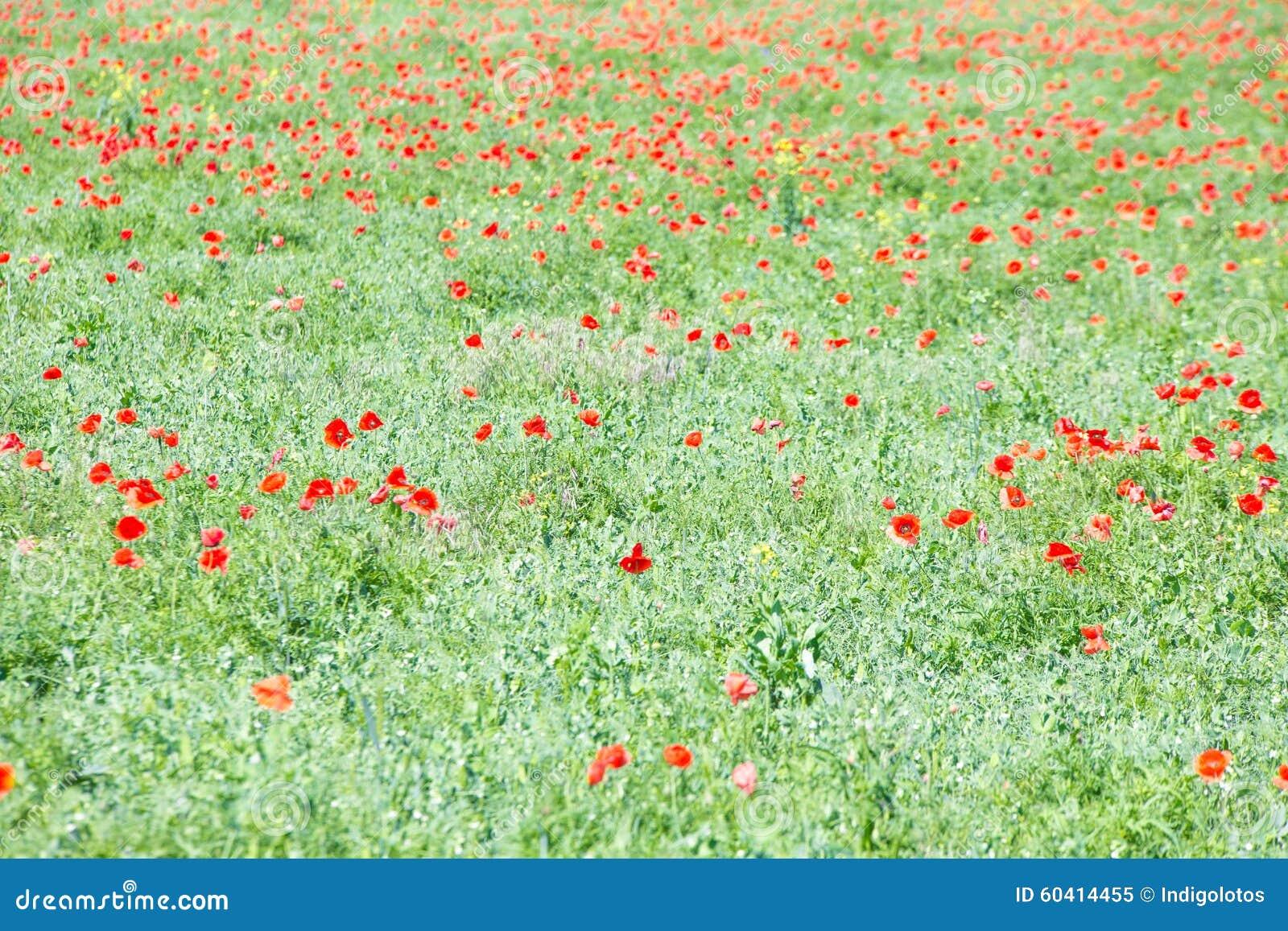 Campo de flores de la amapola imagen de archivo imagen for Amapola jardin de infantes palermo