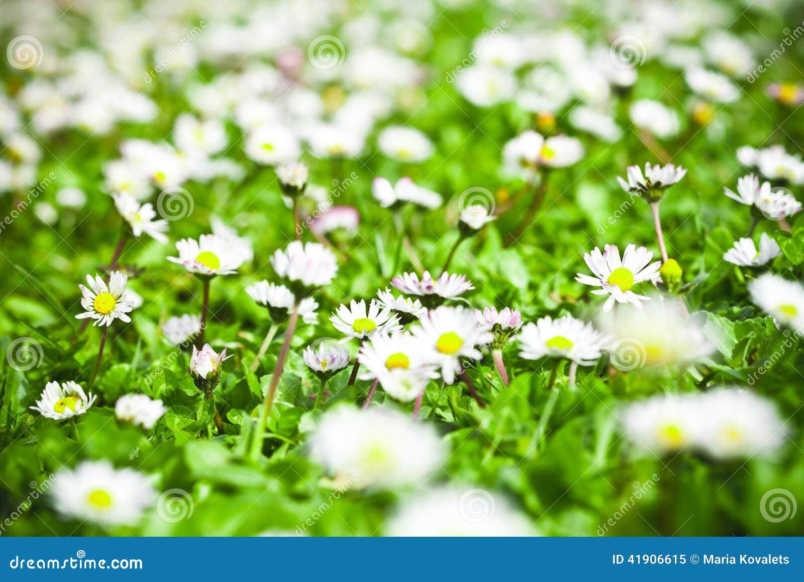 Campo de flores de la manzanilla