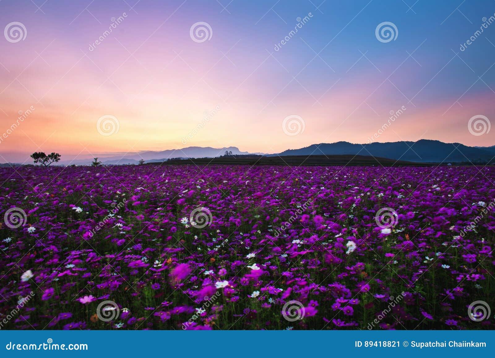 Campo de flores do cosmos no por do sol