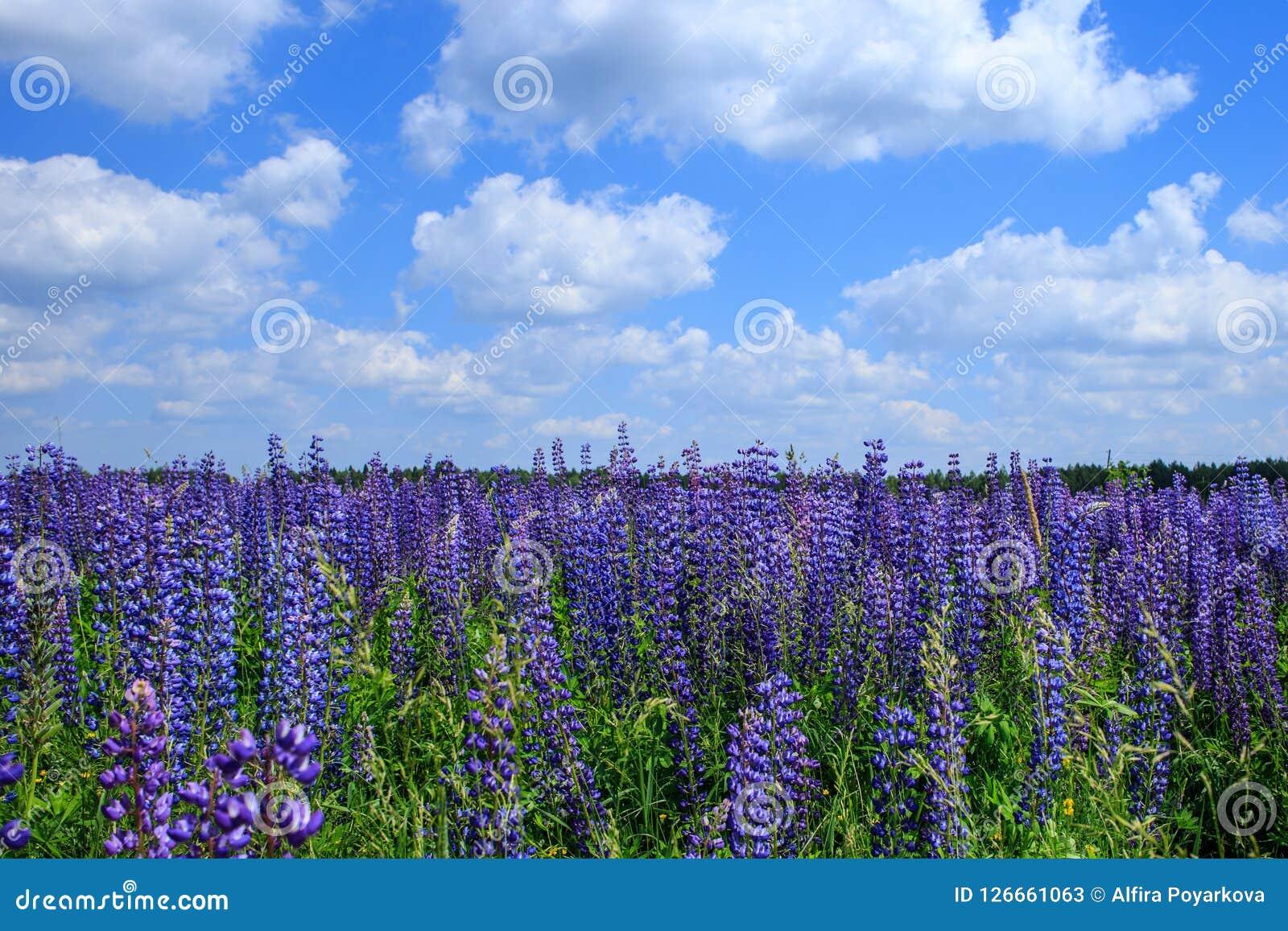 Campo de flores do lupine sob o céu azul Fotos de Stock