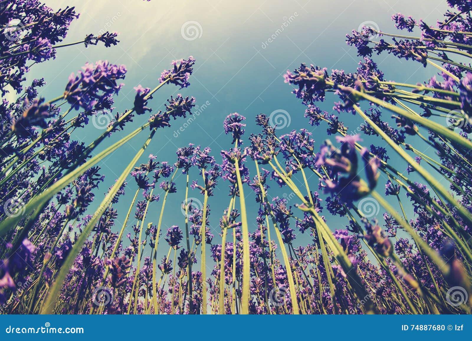 Campo de flores Scented da alfazema sob o céu azul