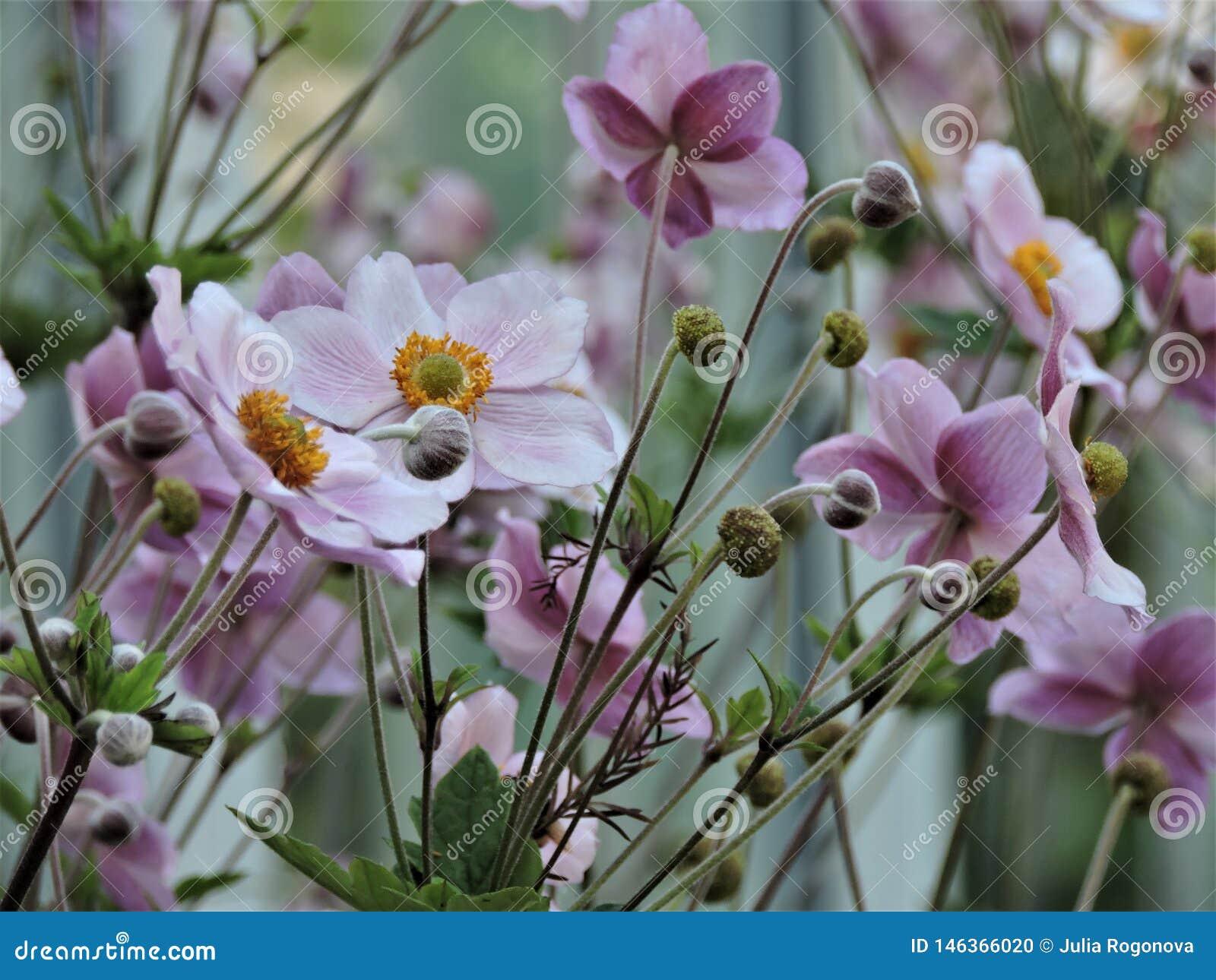 Campo de flores violetas bonitas no parque do verão em Helsínquia, Finlandia