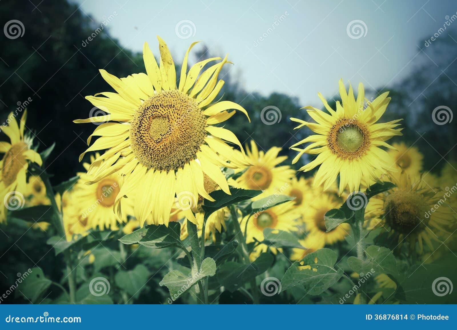 Campo de girasoles florecientes