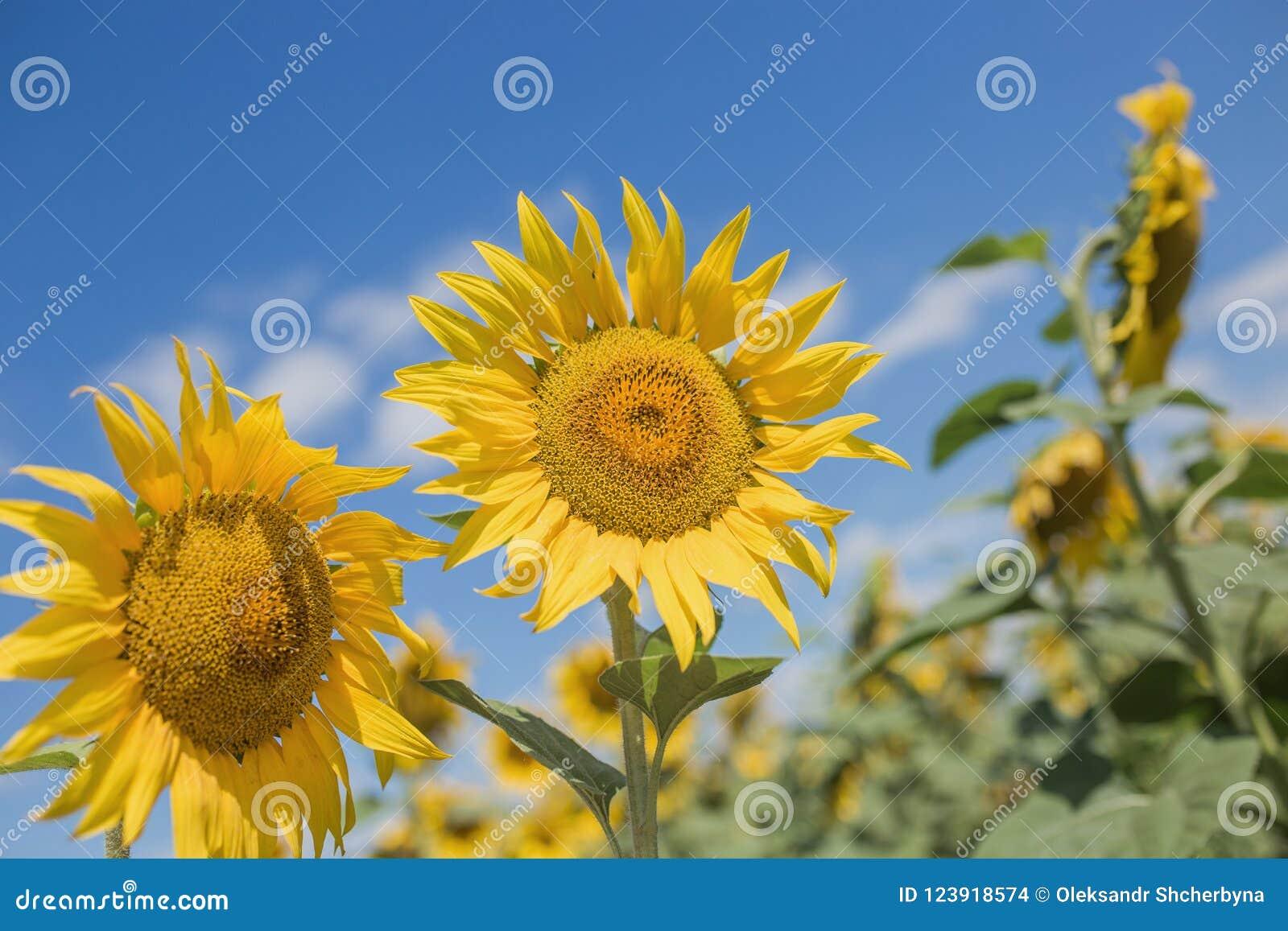 Campo de girassóis de florescência contra o céu azul