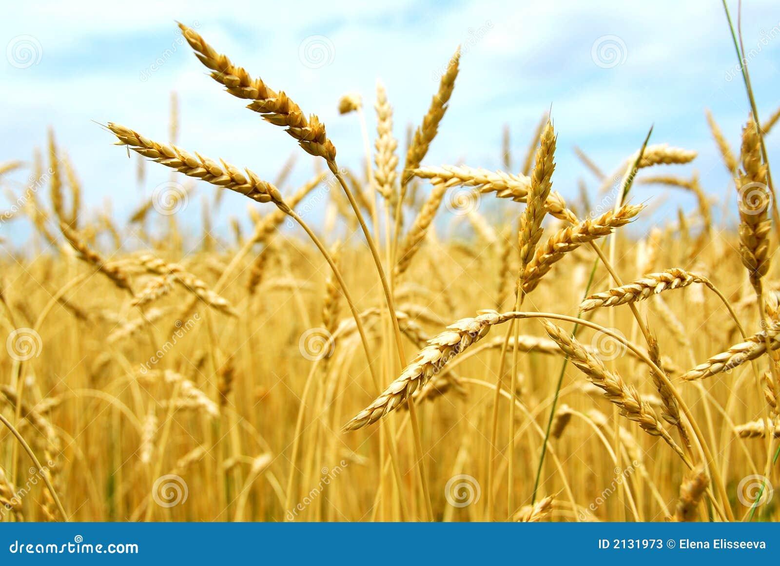 Campo de grano