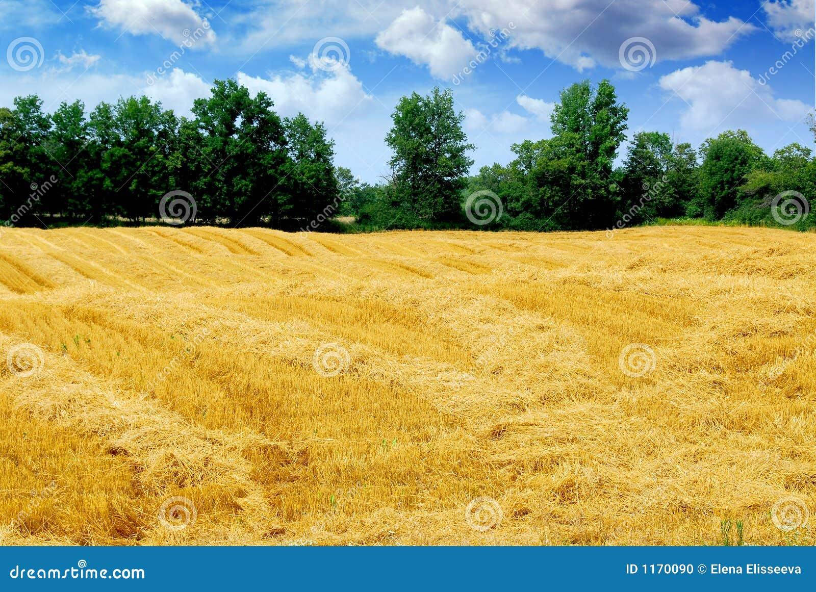 Campo de grano cosechado