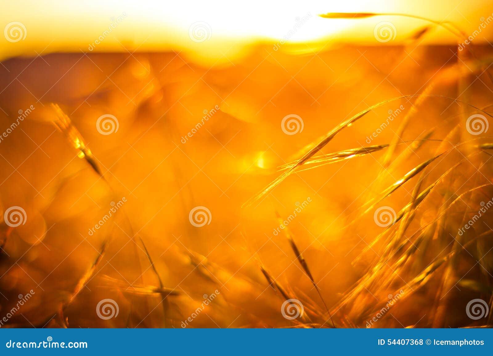 Campo de hierba de oro bajo sol suave