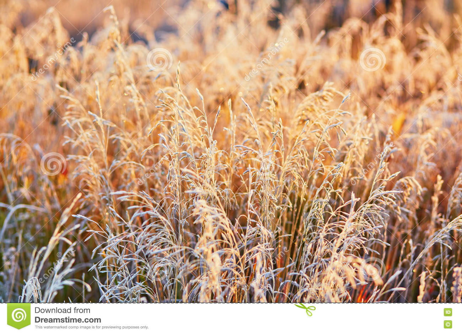 Campo De Hierba De Oro Hermoso En La Puesta Del Sol Foto de archivo