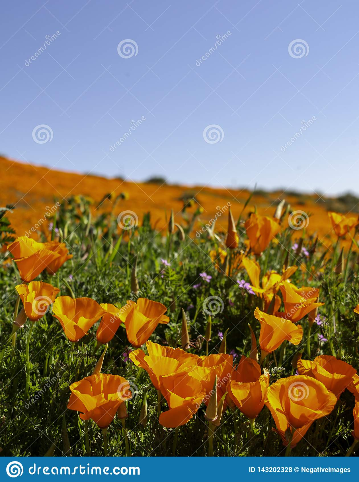 Campo de la amapola de California durante una floración estupenda