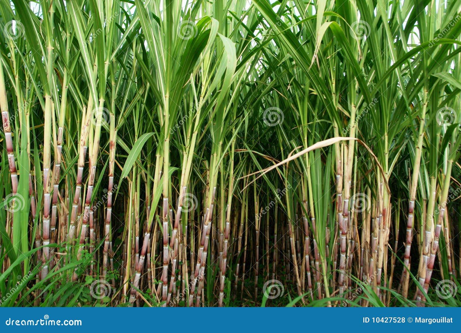 Campo de la caña de azúcar