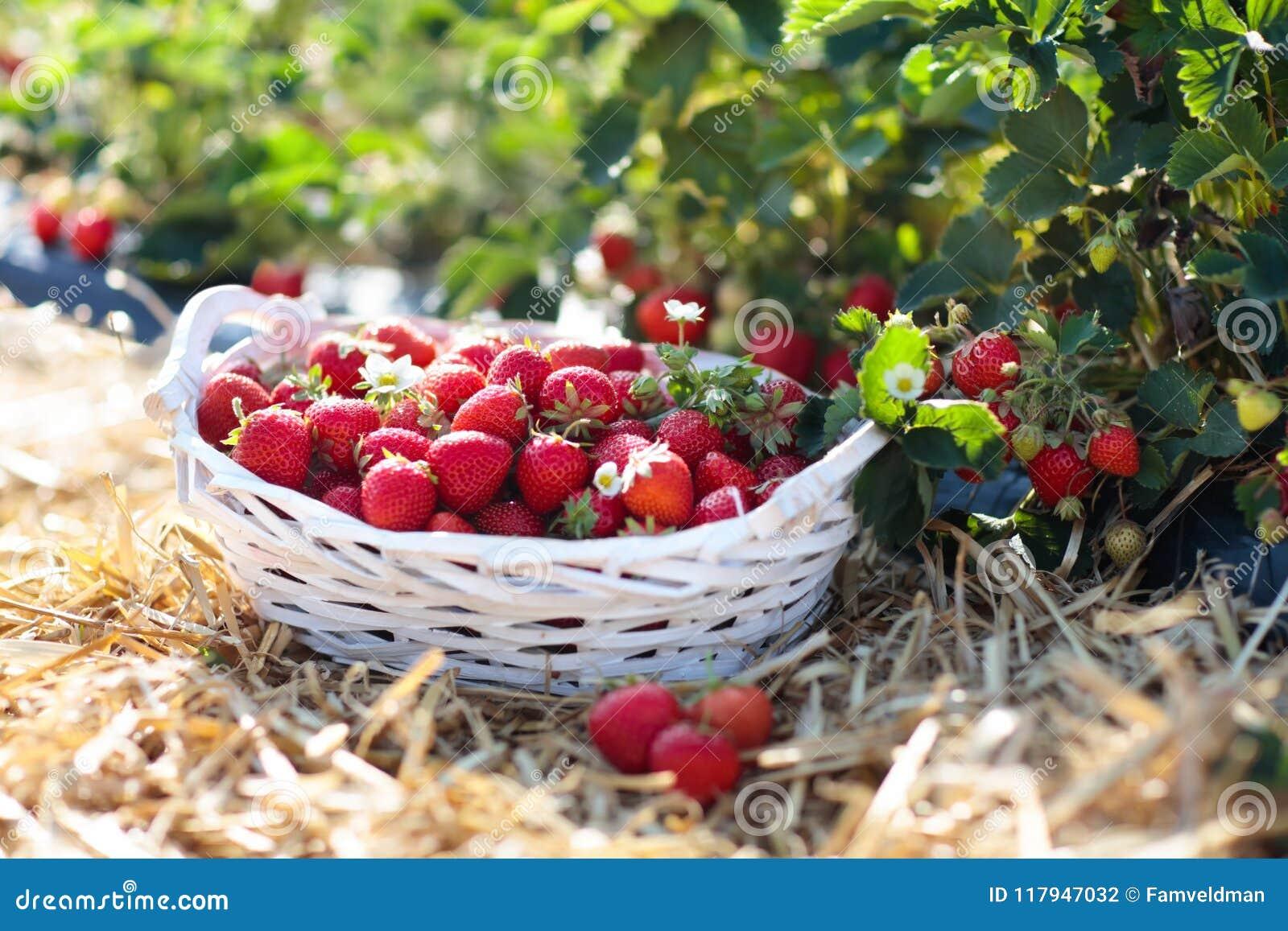 Campo de la fresa en granja de la fruta Baya en cesta
