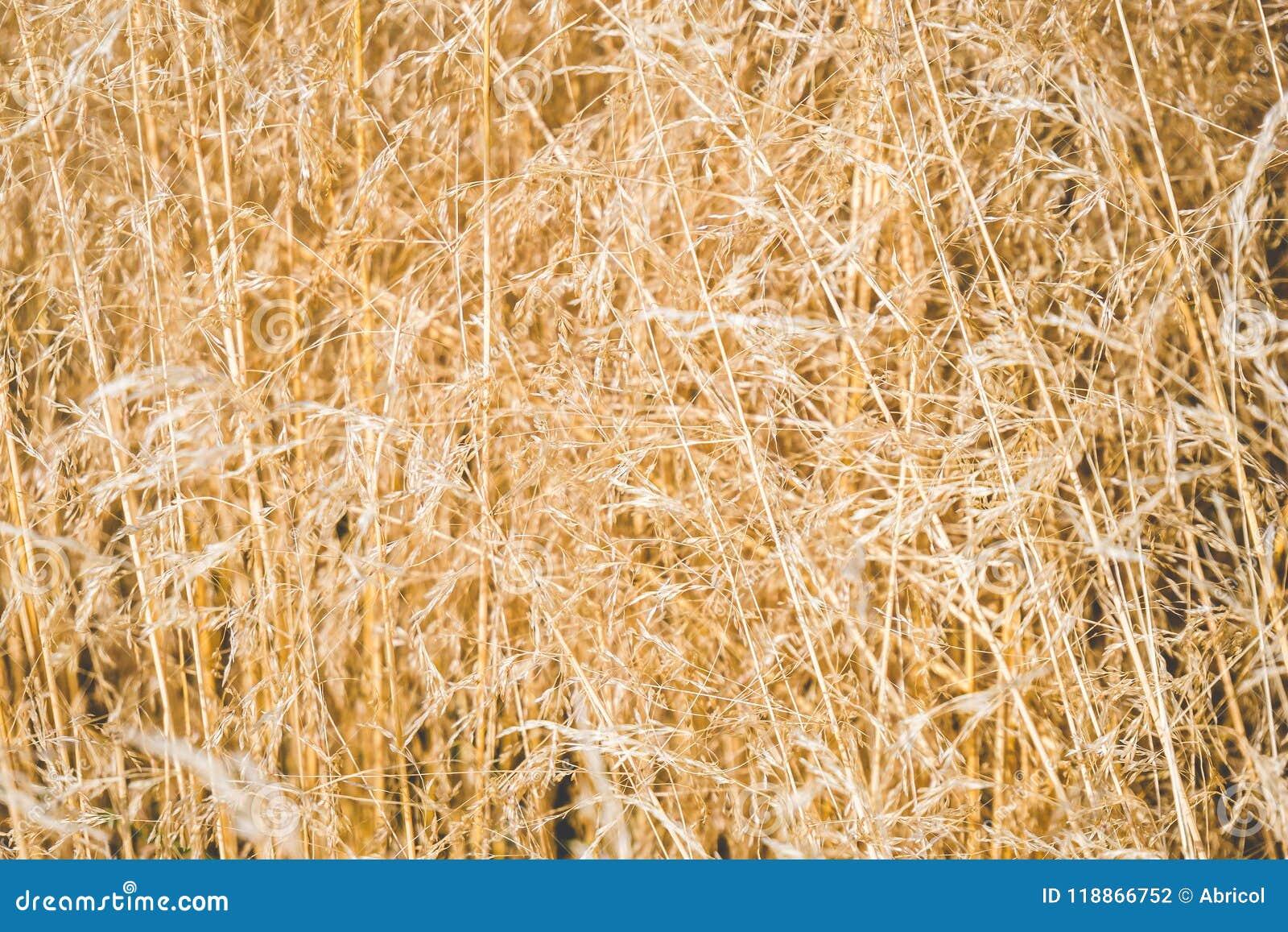 Campo de la hierba de oro