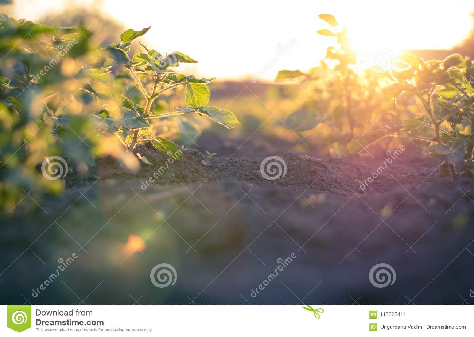 Campo de la patata en la puesta del sol en un pequeño pueblo en la República del Moldavia