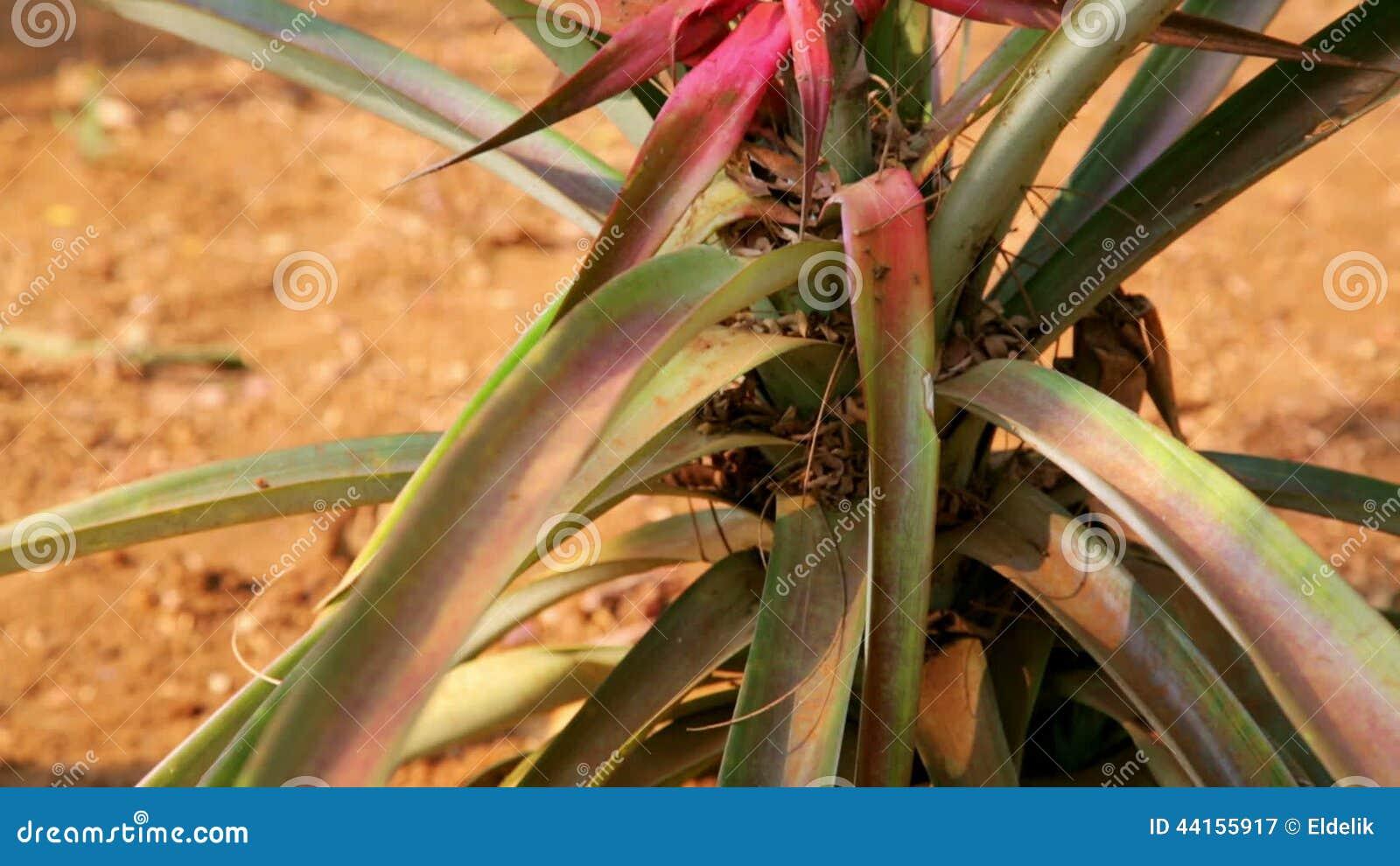 Campo De La Plantación De La Fruta De La Piña, Tierra De Cultivo ...