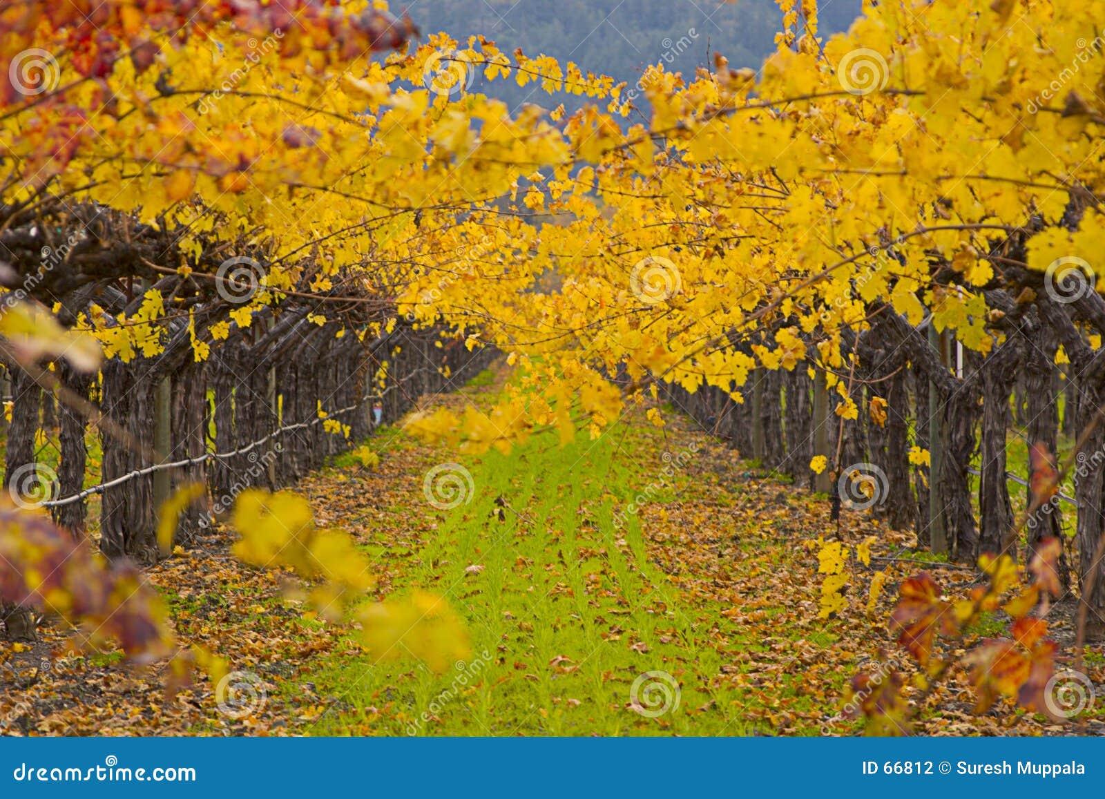 Campo de la uva