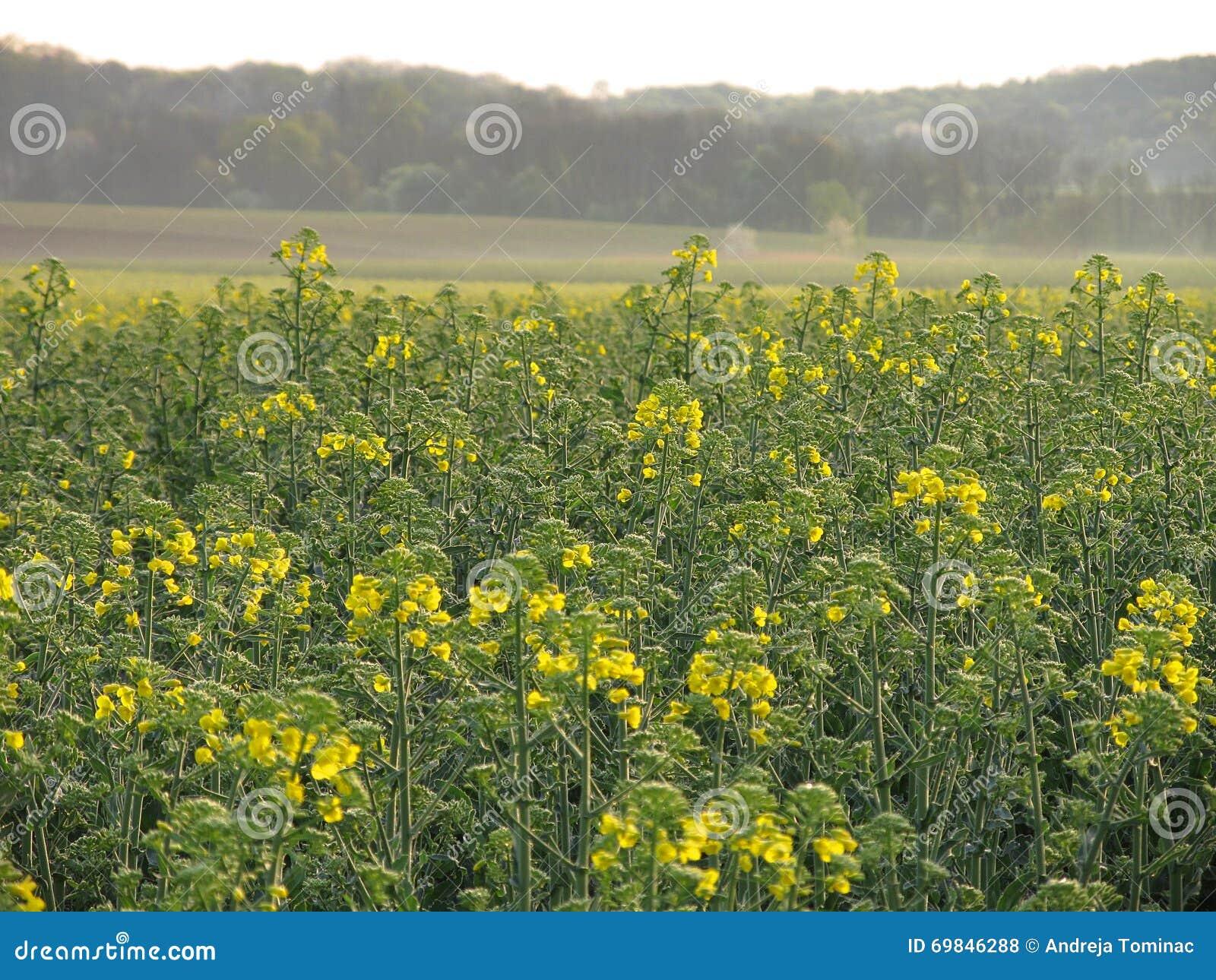 Campo de la violación por mañana de la primavera