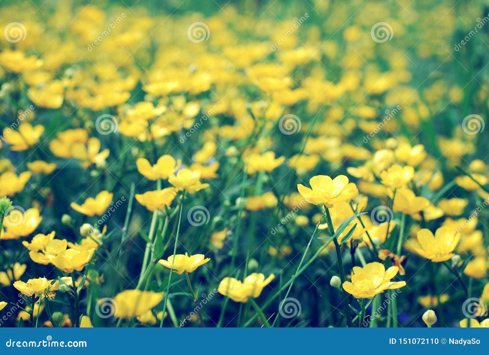 Campo de las flores amarillas salvajes, ranúnculos florecientes