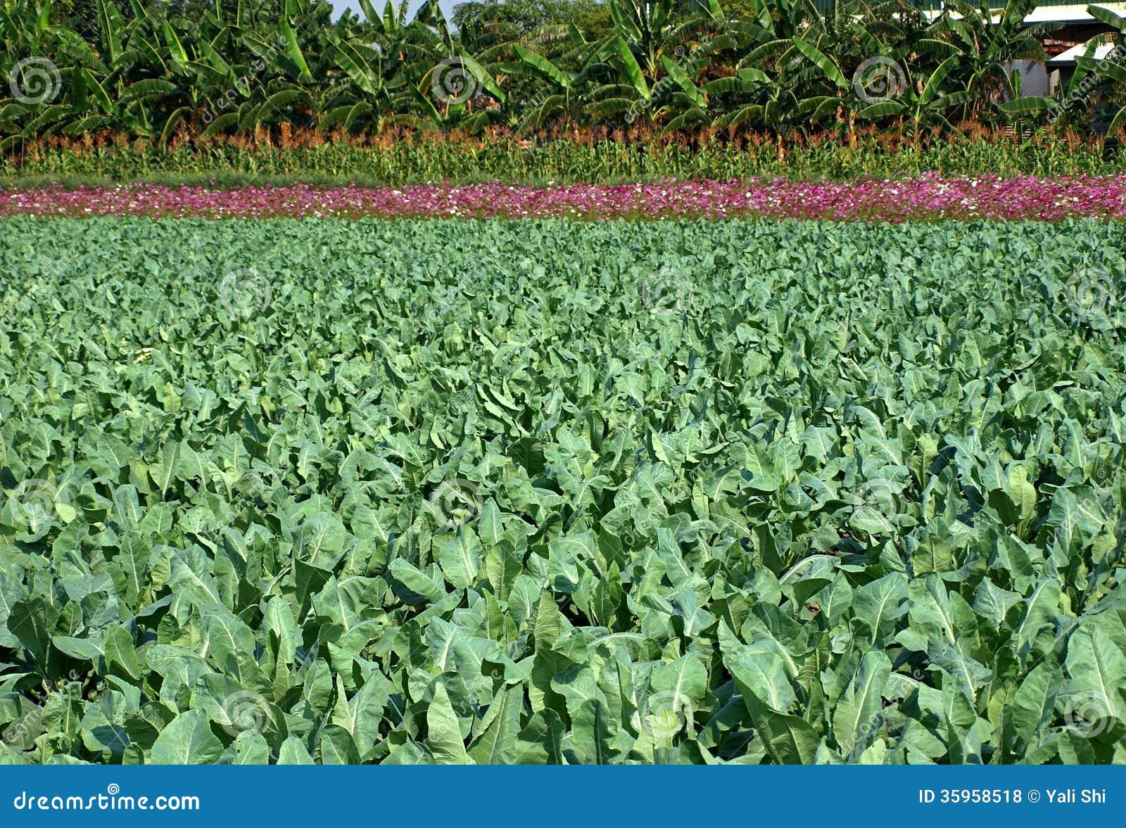 Campo de las plantas verdes de la coliflor