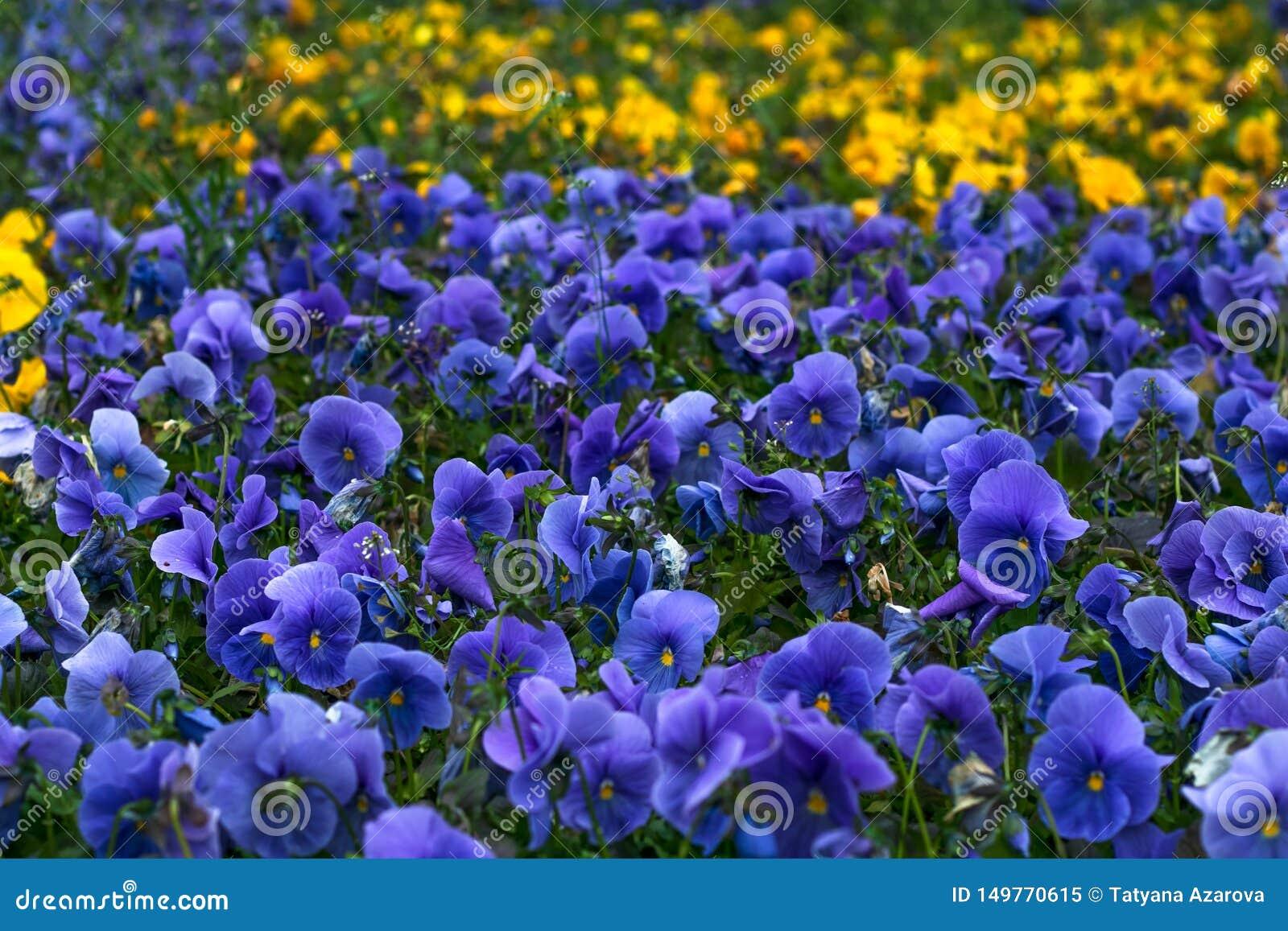 Campo de los pensamientos violetas Modelo floral Fondo de la flor, decoración, diseño Viola p?rpura Estaci?n de resorte Heartseas