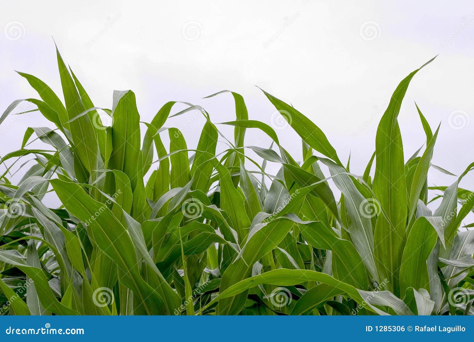 Download Campo de maíz foto de archivo. Imagen de ecología, agricultura - 1285306
