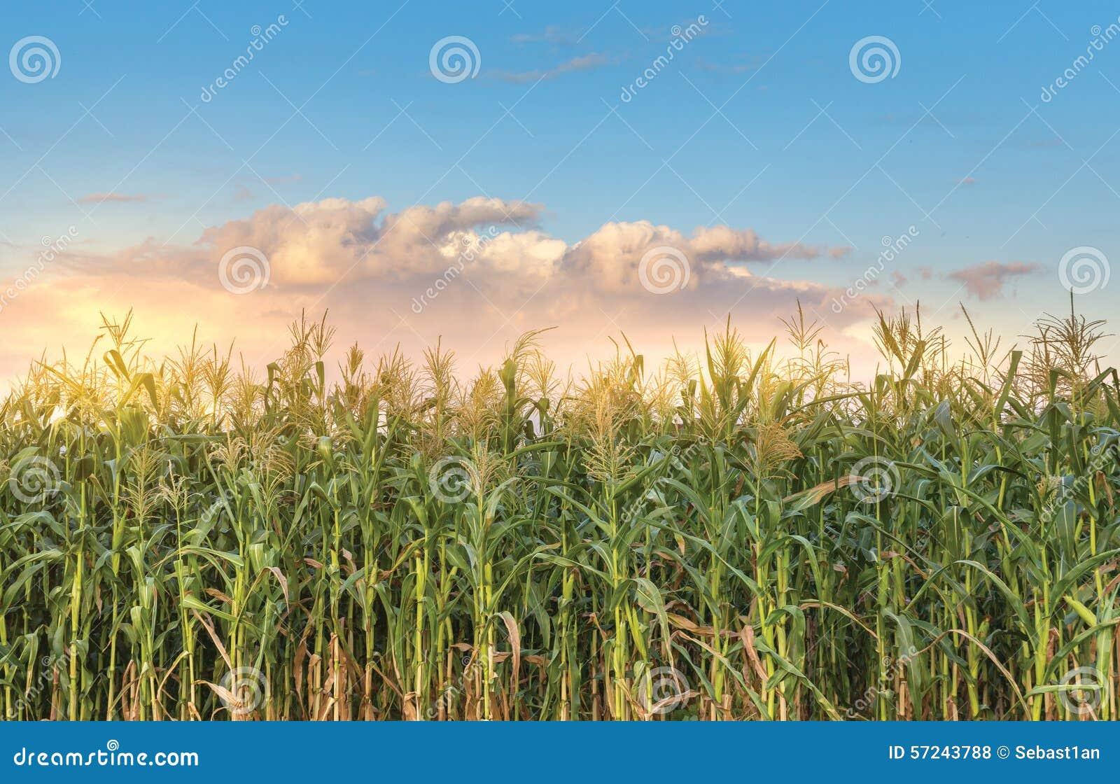 Campo de maíz