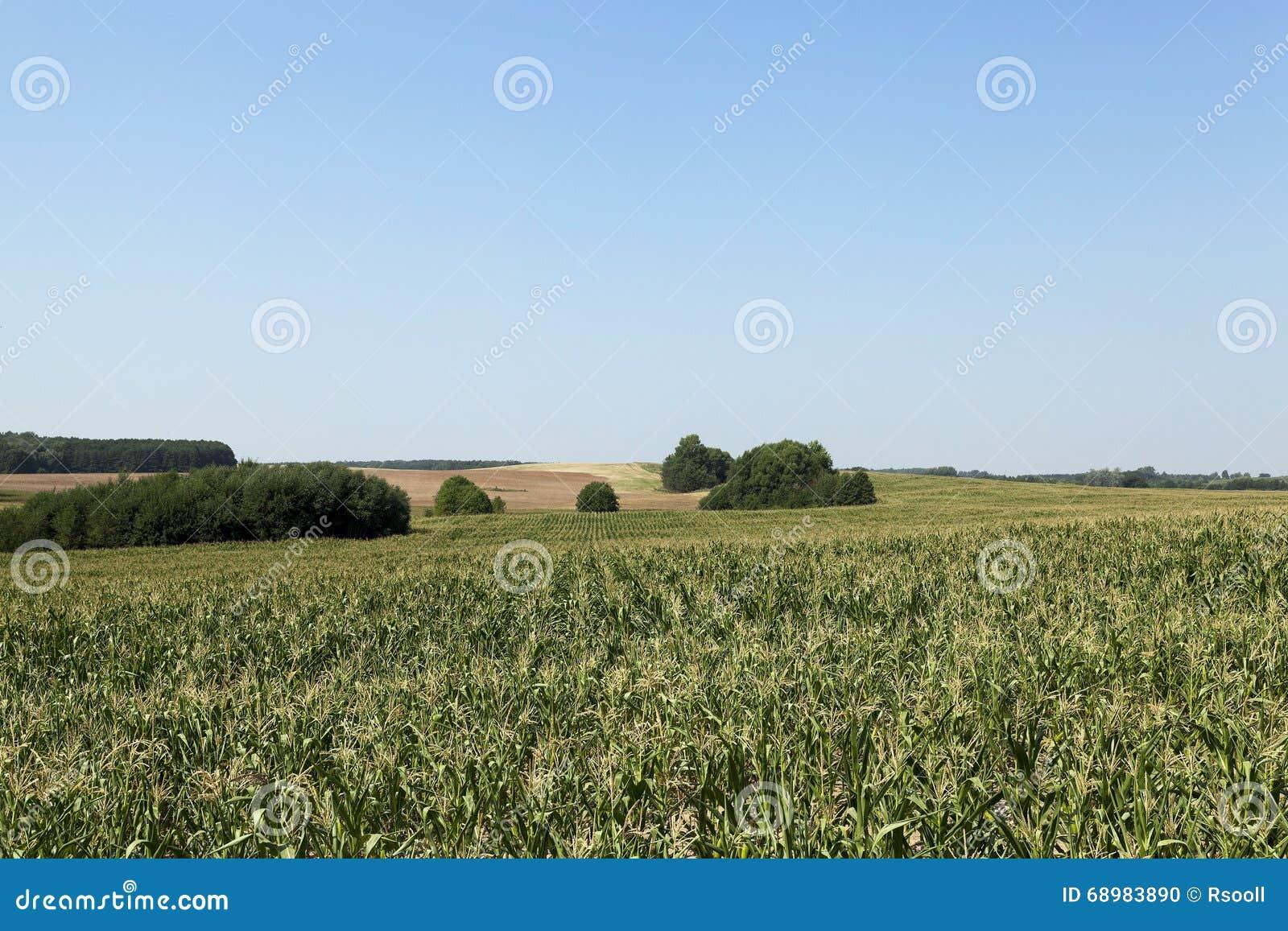 Campo de maíz, bosque