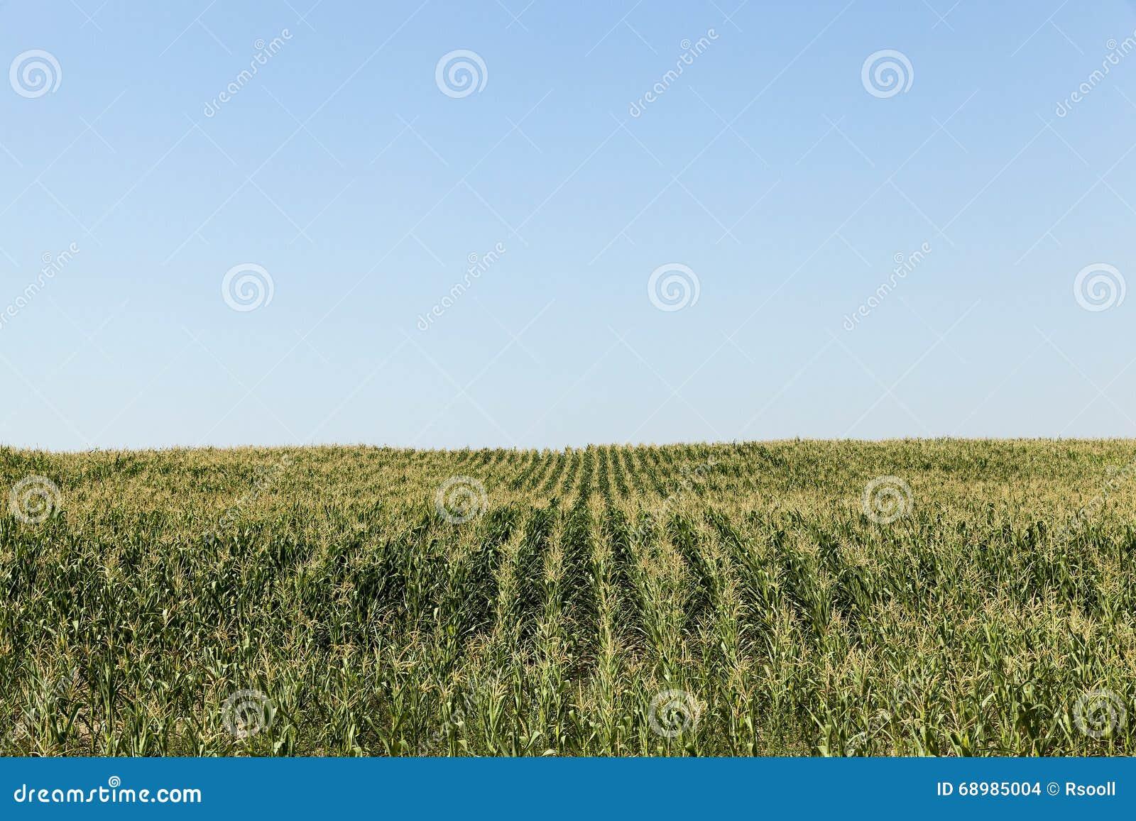 Campo de maíz, cielo azul