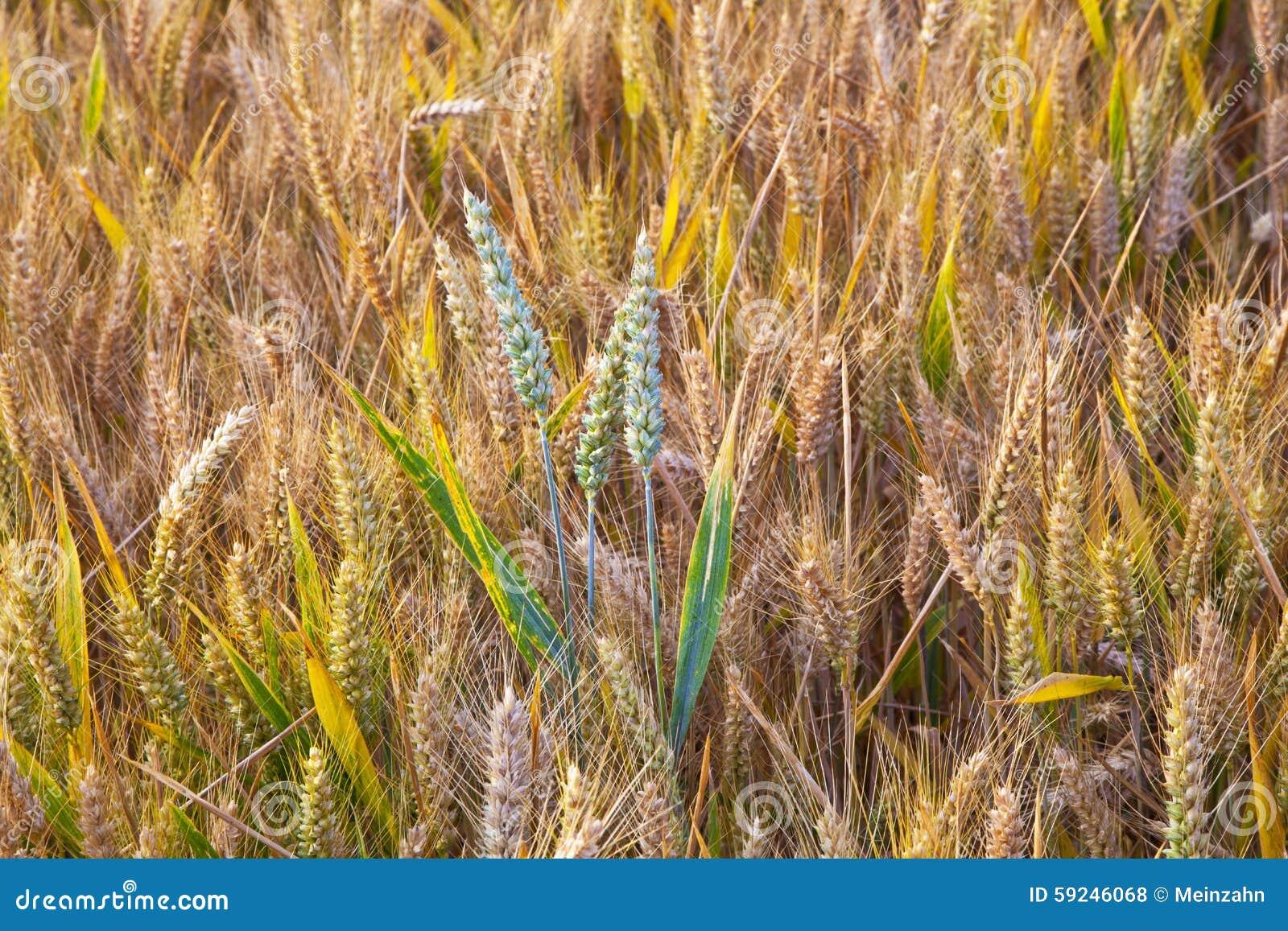 Campo de maíz con la espiga detalladamente