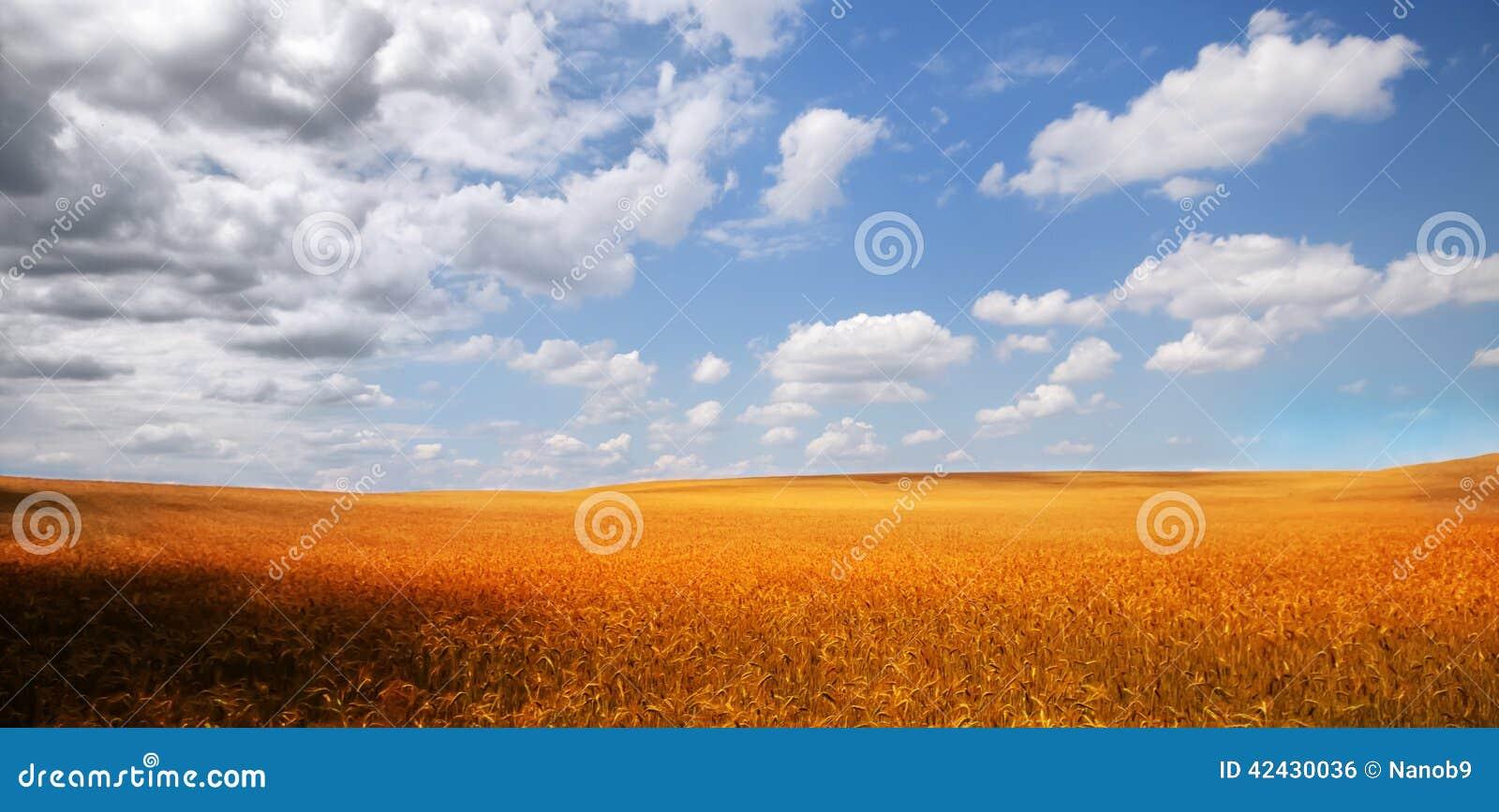 Campo de maíz de oro