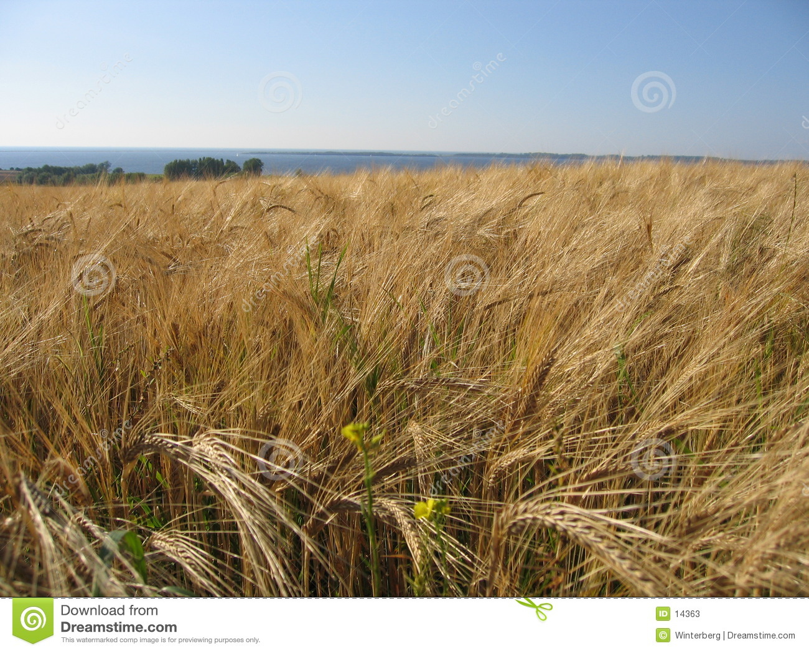 Campo de maíz del trigo