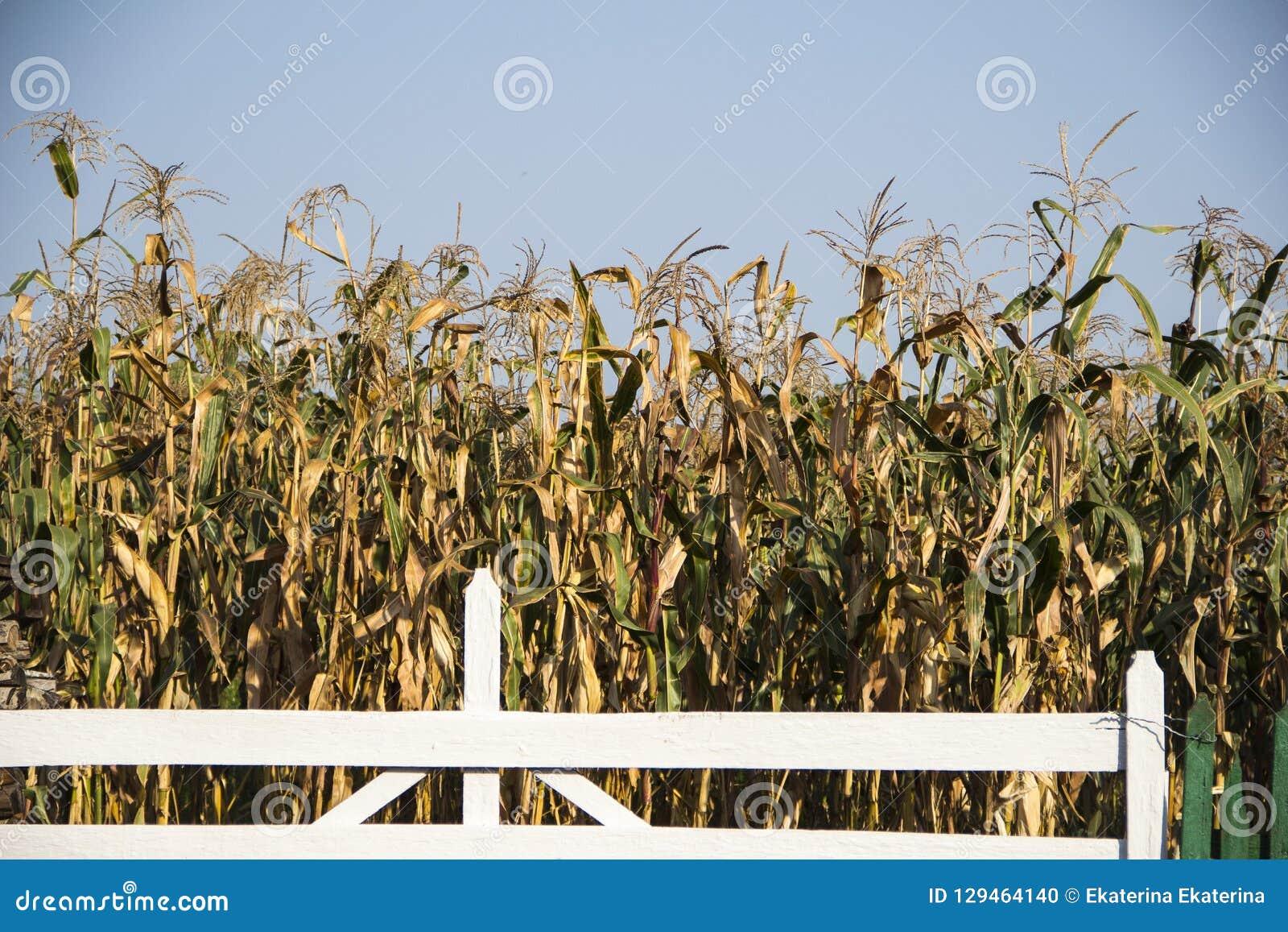 Campo de maíz en el Moldavia en la caída