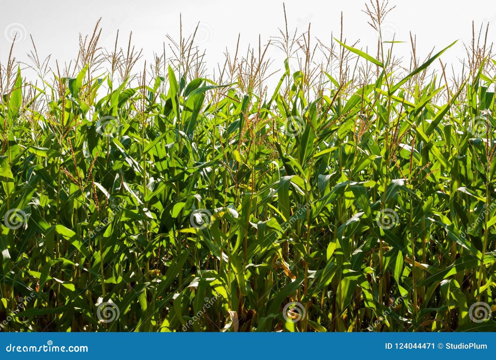 Campo de maíz en un día soleado a finales del verano