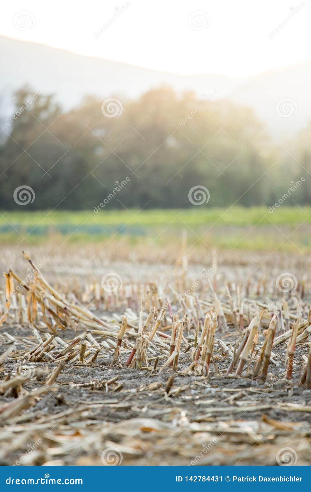 Campo de maíz de Gatherd en el otoño