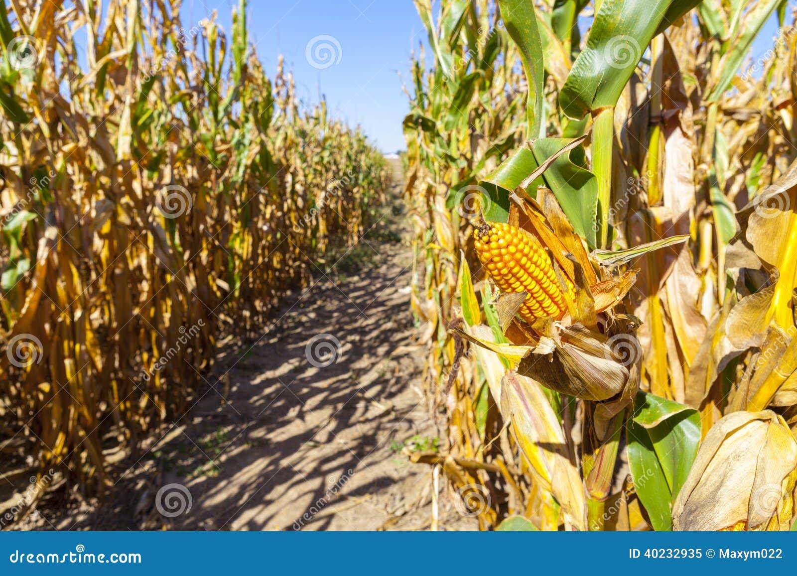 Campo de maíz (remiendo)