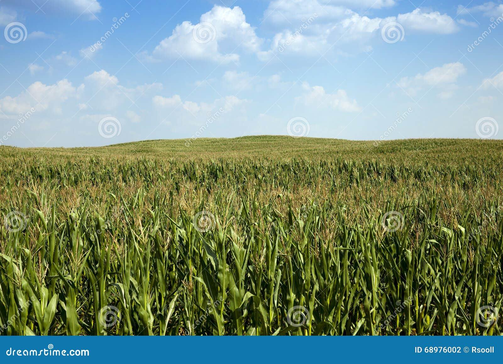 Campo de maíz, verano