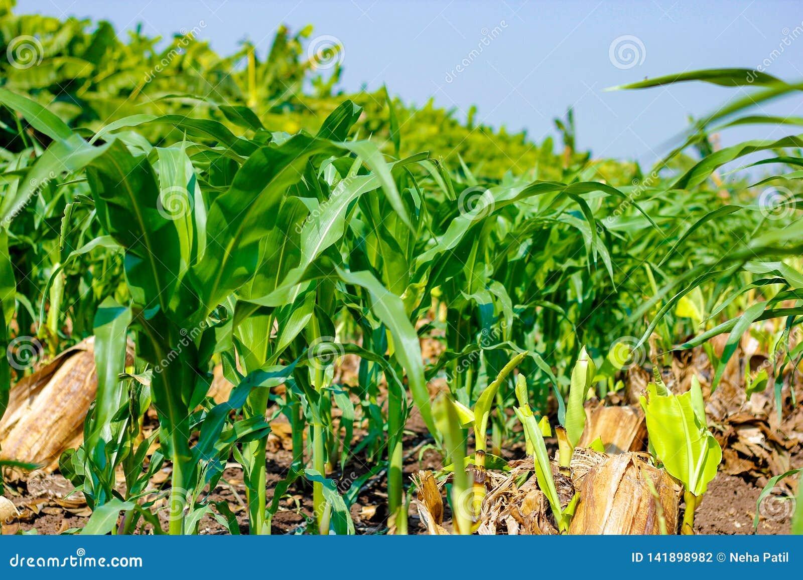 Campo de maíz verde verde fresco, granja india,
