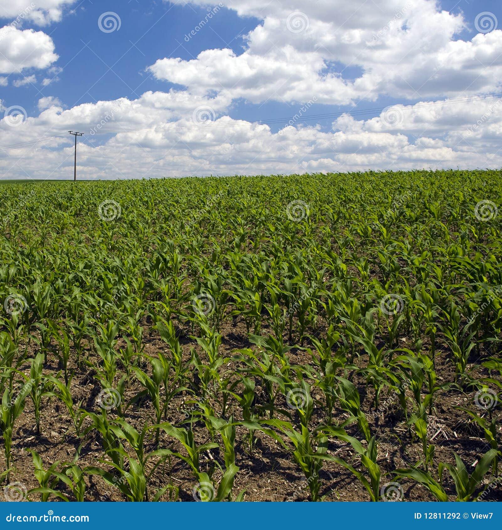 Campo de milho adiantado da mola