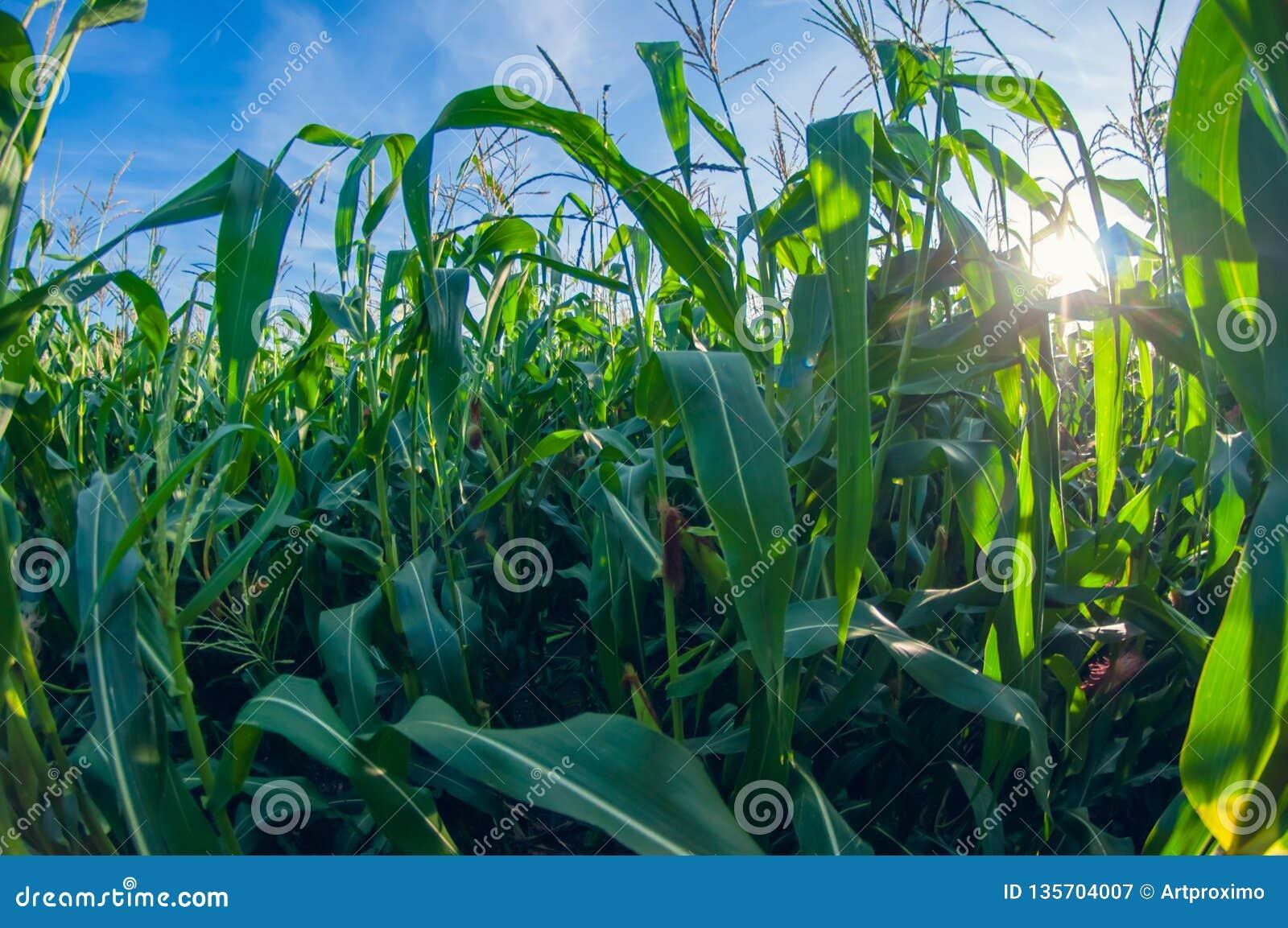 Campo de milho em um dia ensolarado, folhas do milho, opinião de lente de fisheye da perspectiva da distorção