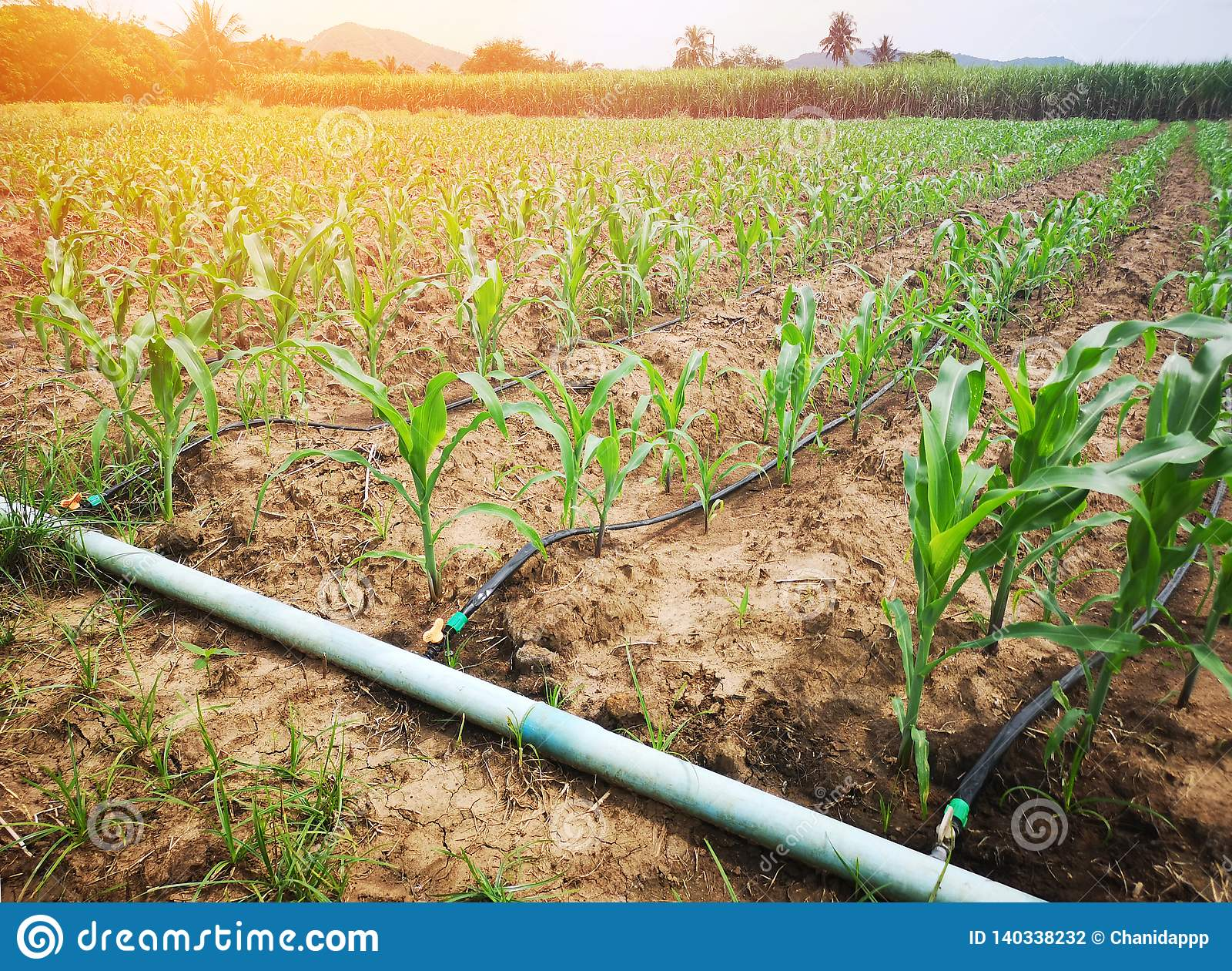 Campo de milho no campo que usa o sistema molhando do gotejamento é um recurso agrícola econômico
