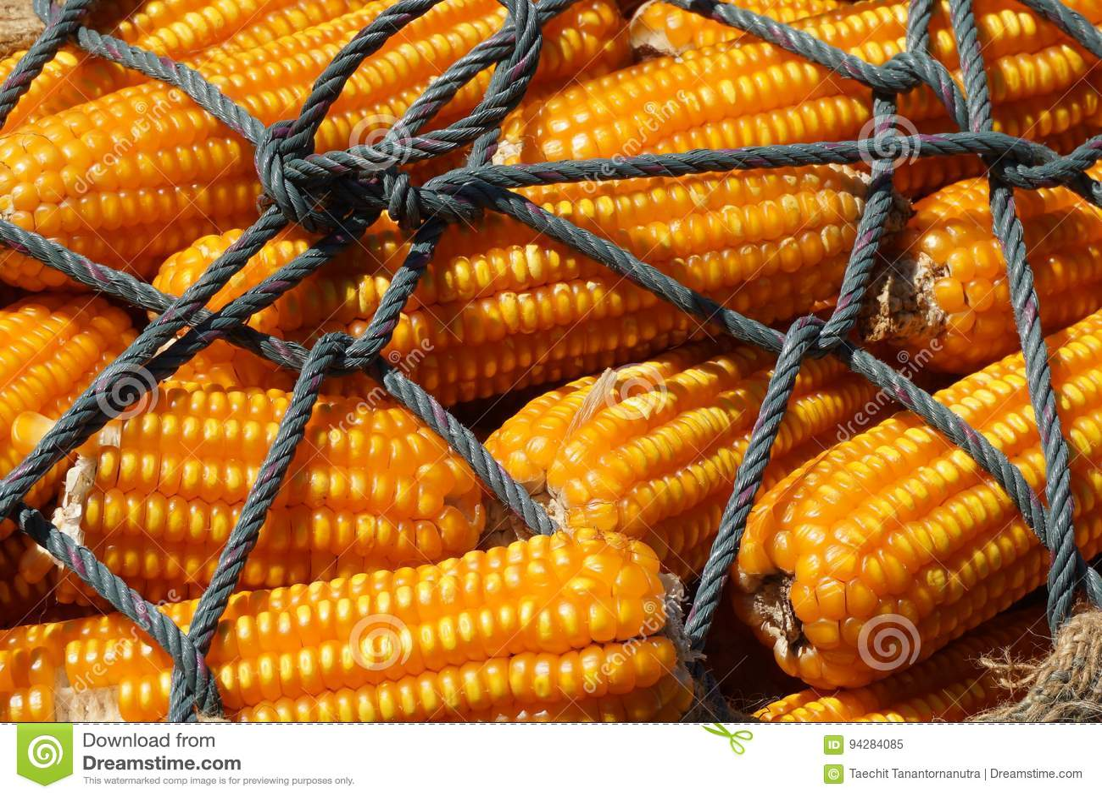 Campo de milho seco