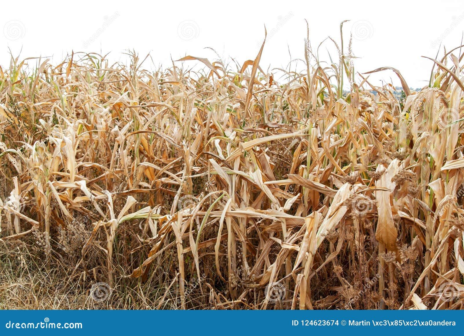 Campo de milho seco Dia de verão quente Falta da chuva Exploração agrícola seca Por do sol espectacular Colheita pobre