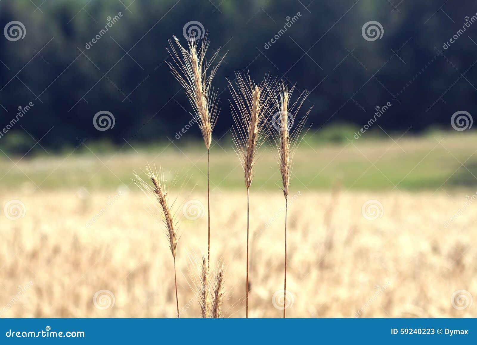 Download Campo De Rye En El Primer Del Día De Verano Imagen de archivo - Imagen de grano, golden: 59240223