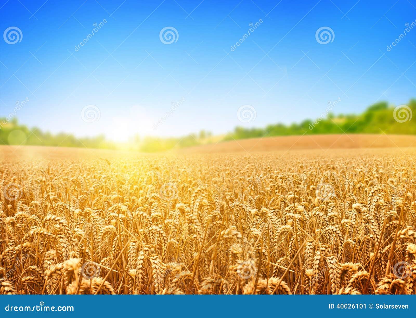 Campo de trigo de oro