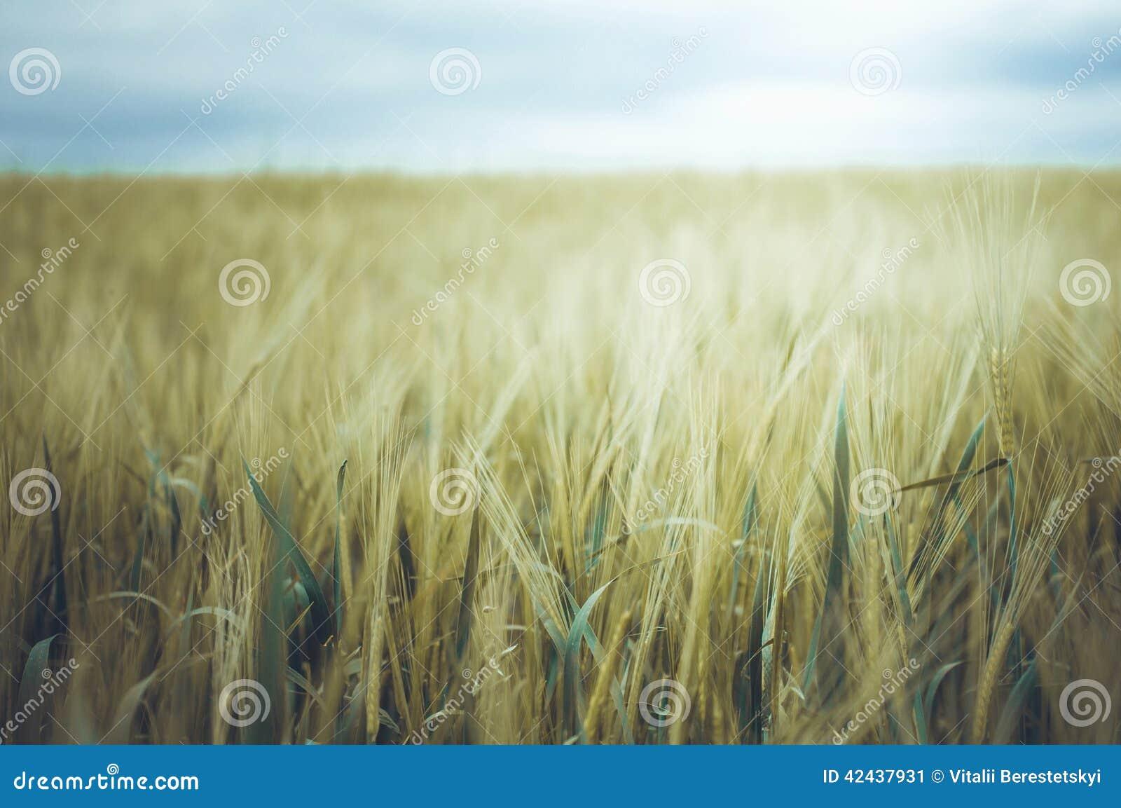 Campo de trigo de oro y cielo tempestuoso